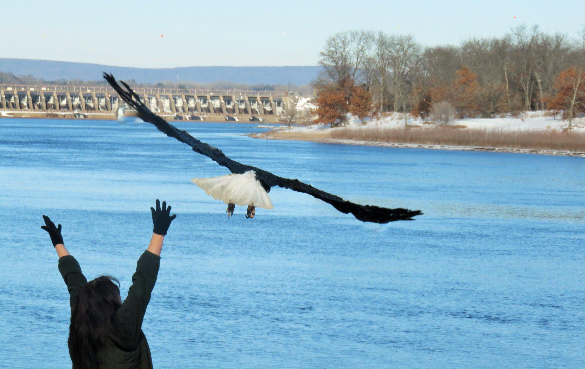 Eagle release in Sauk/Prairie.