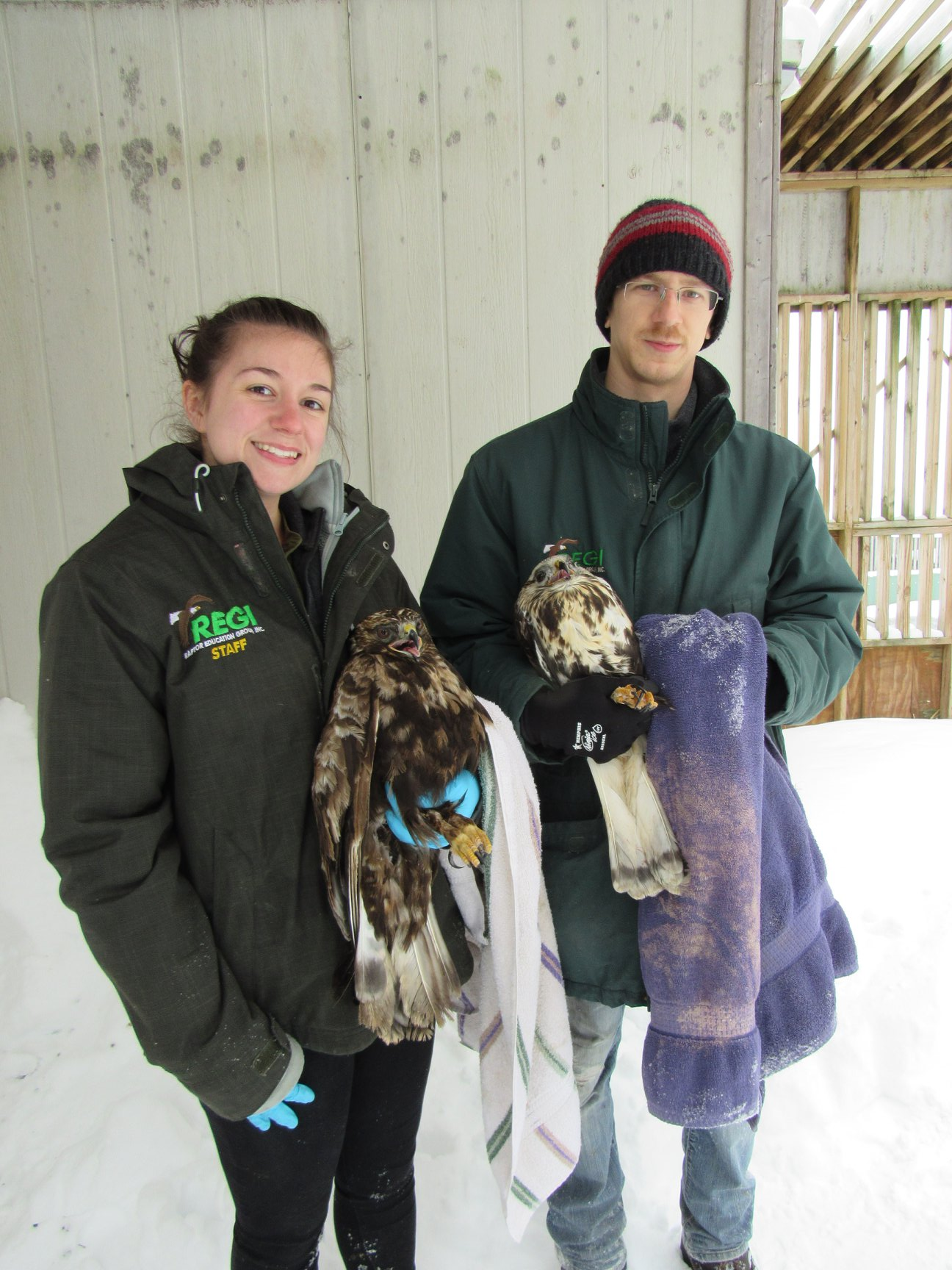 REGI  staffers Katie Needles and Greg Russ with our Rough-legged Hawks (  RLHA) the female is larger and is dark morph the male is smaller and a  light coloration.