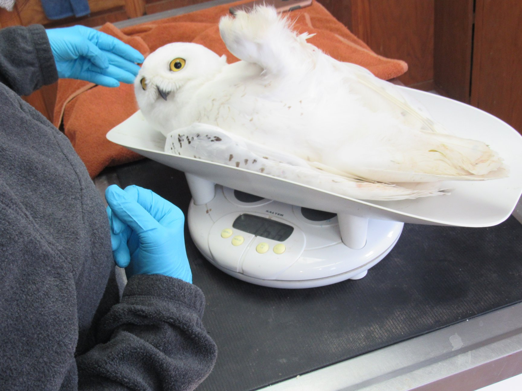 Handsome male Snowy Owl Coddington weighed in a 1680 grams.