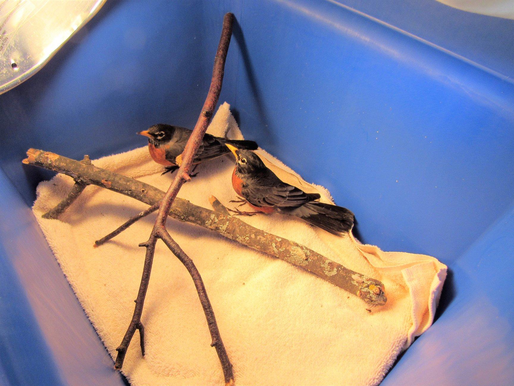 Male American Robins