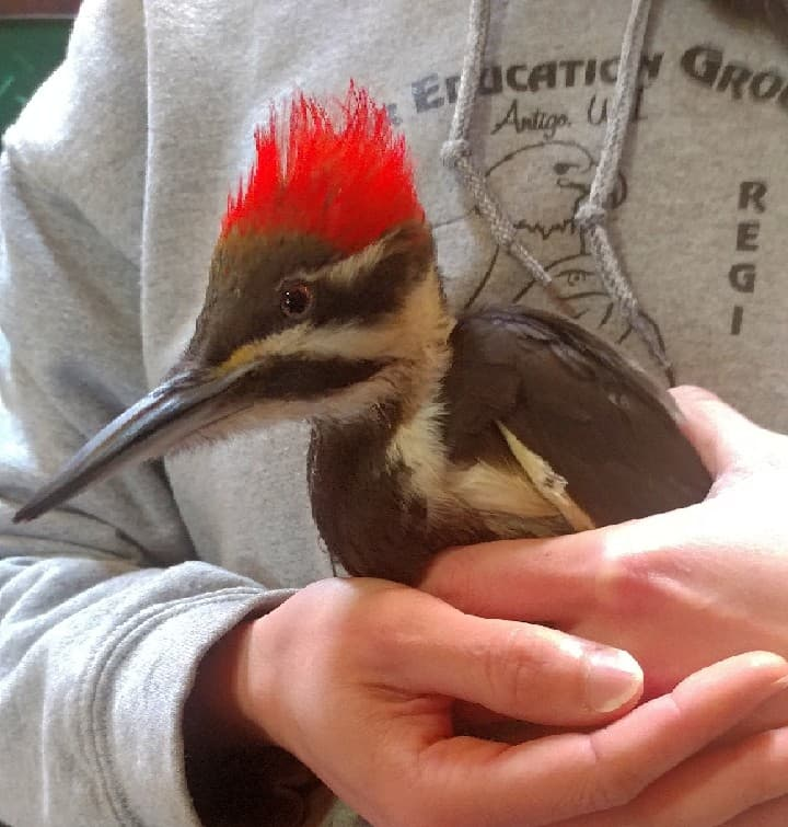 Female Pileated Woodpecker fell from a tree in front of a family. She was rushed to us a few nights ago. She is active now.