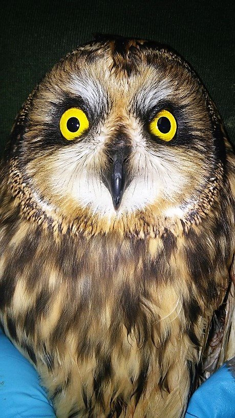 Short eared Owls have expressive faces. This one was hit by a vehicle.