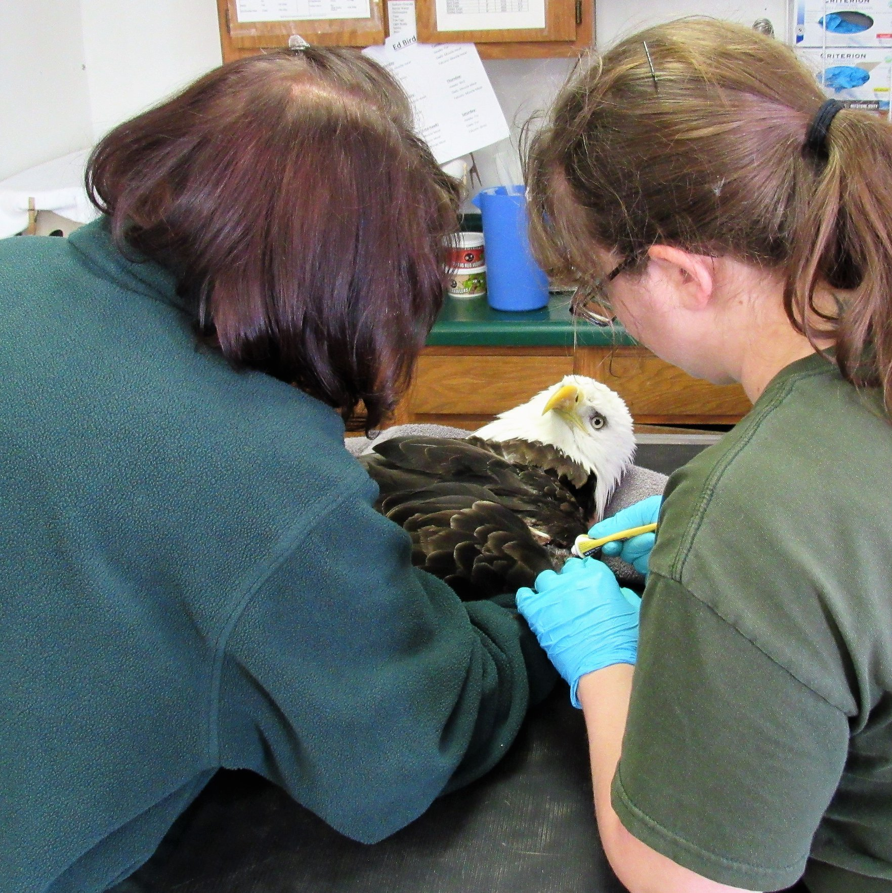 Treatment was started quickly to treat the bald eagles lead poisoning.