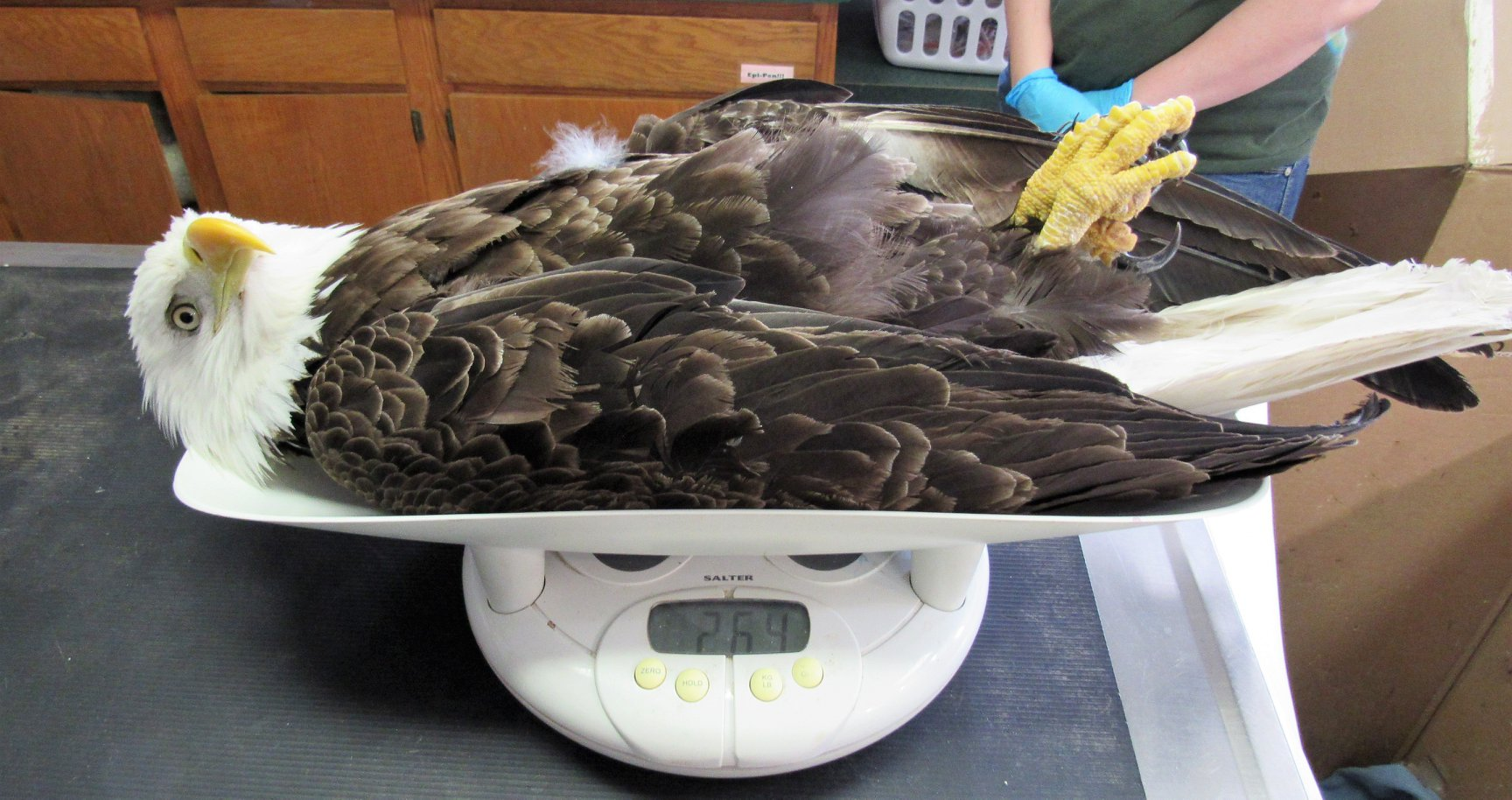 Bald Eagle with lead poisoning is very low in weight at 2.67 Kg or 5.8 lbs. He should weight 9-10 lbs