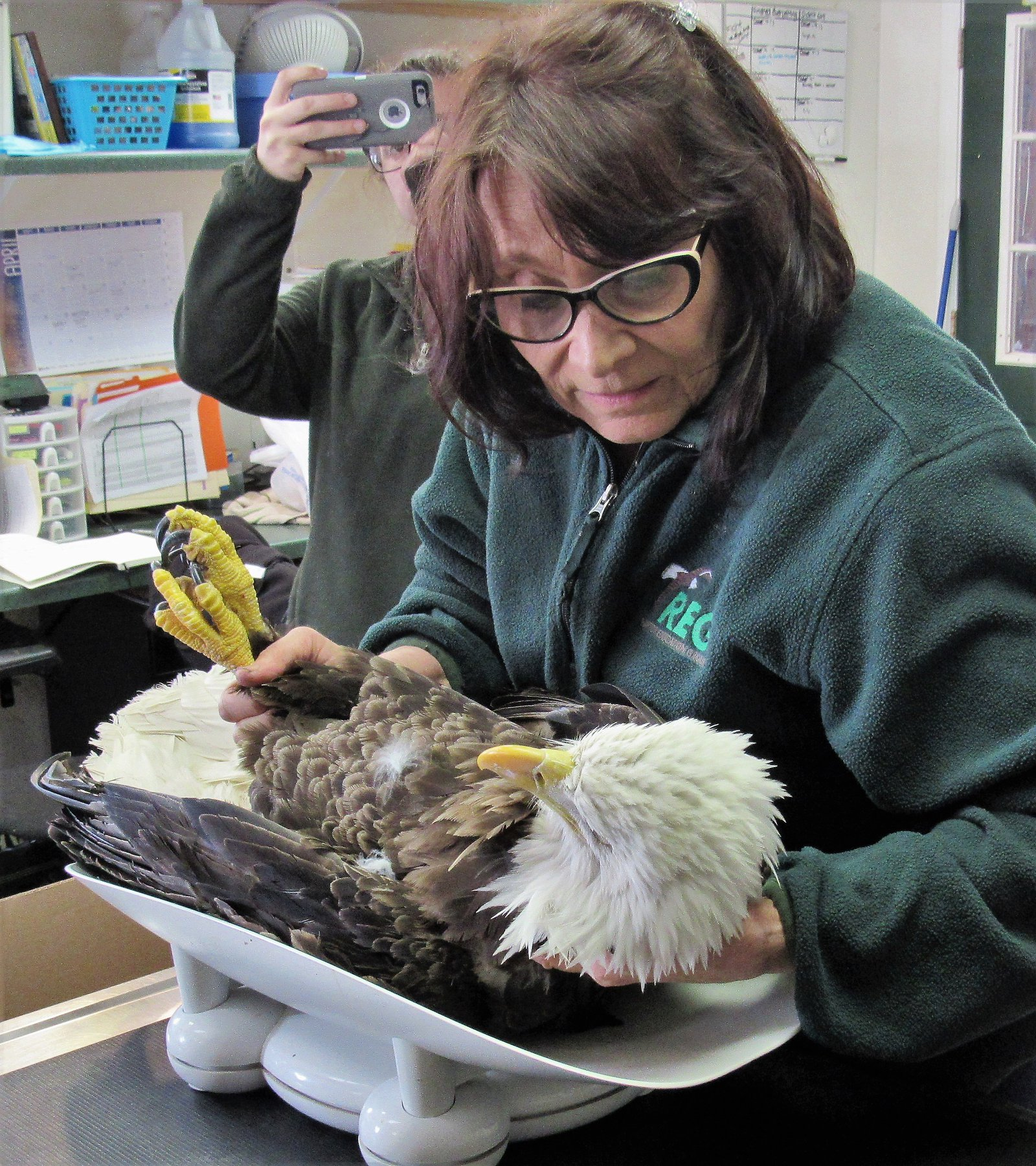 The Bald eagle is very low in weight due to a combination of lead poisoning and a wing fracture.