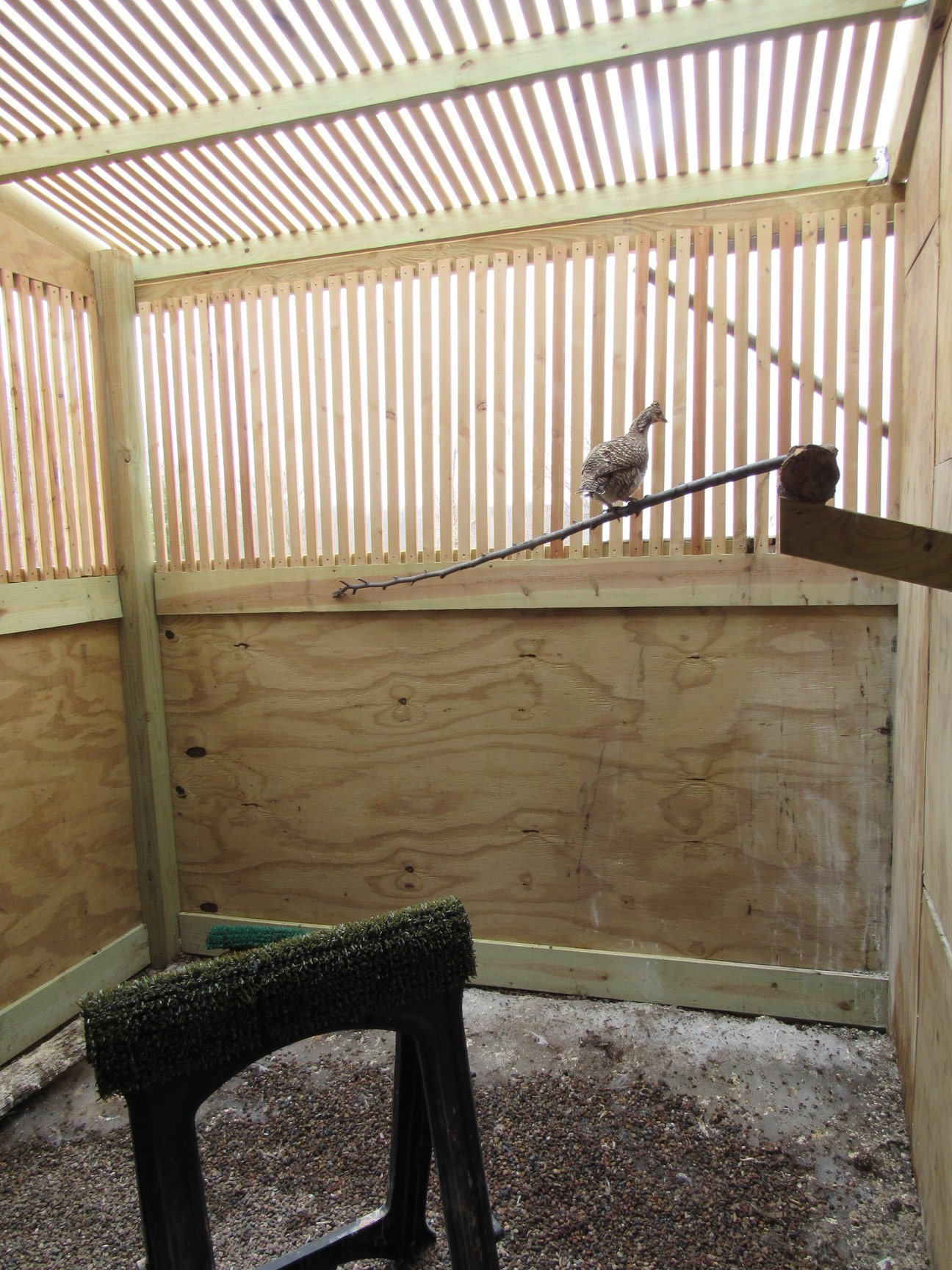 The P.Chicken has been in an outside enclosure to assure she maintained her cold weather insulation and water proofed feathers.