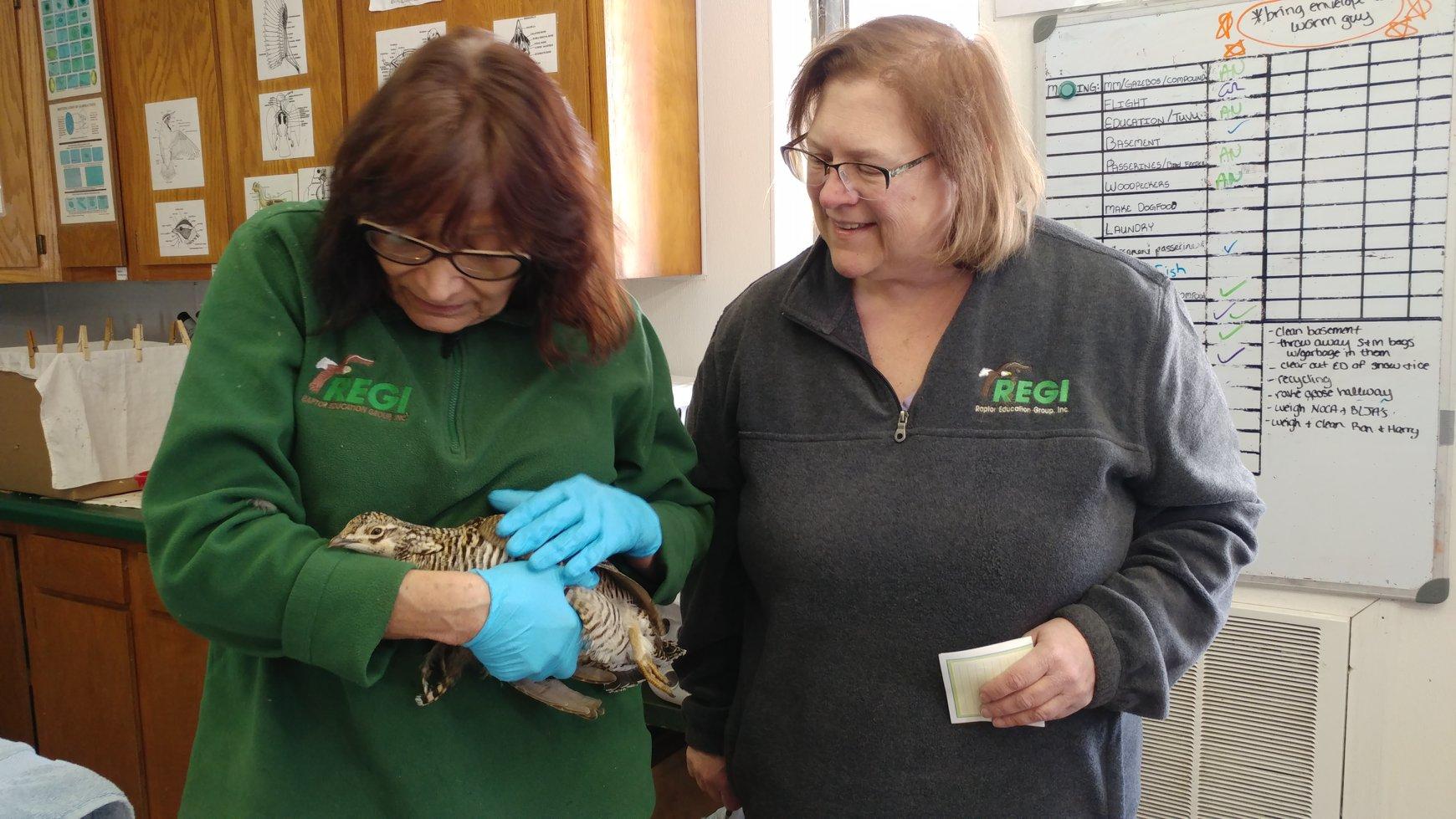 REGI volunteer Kathy Esqueda transported the Prairie Chicken to REGI for care after she was injured.