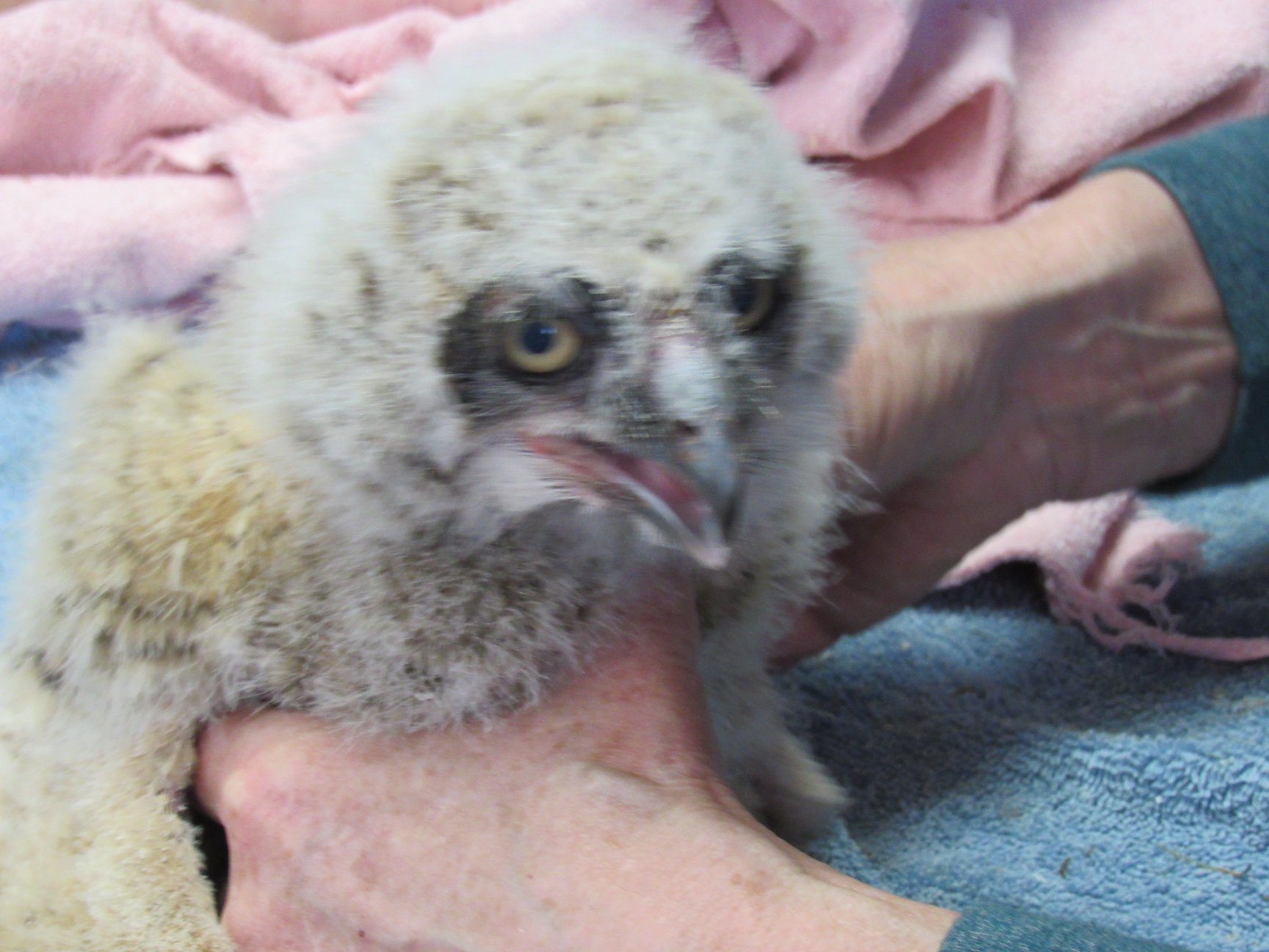 Exam of the owlet found he was injured and bleeding into his abdomen after the long fall from his nest.