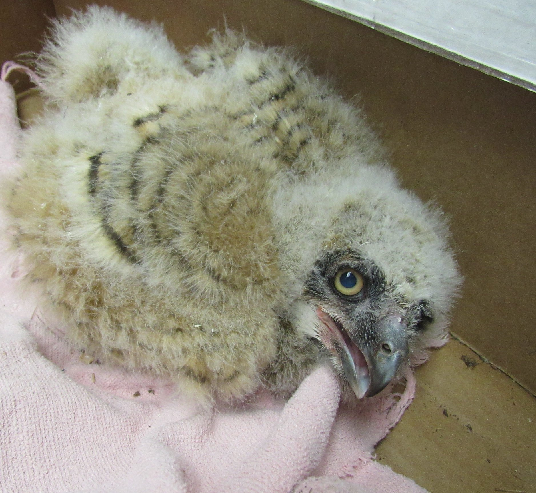 This Great-horned Owlet is only a few weeks old. He feel 70 feet from his nest and is injured.