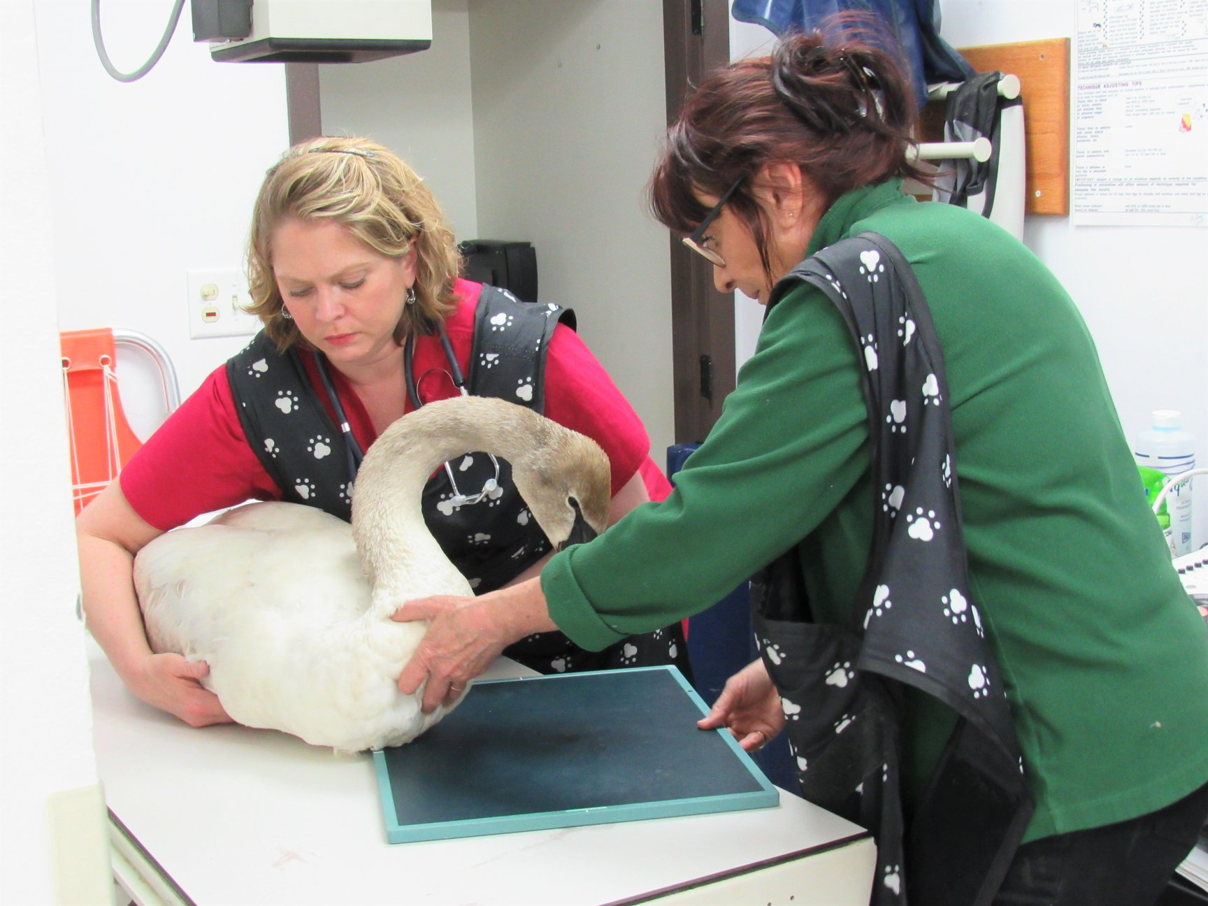 The swans legs remain mostly paralyzed due to the high levels of lead. — with Sarah Lautzenhiser and Marge Cahak Gibson at Antigo Veterinary Clinic.