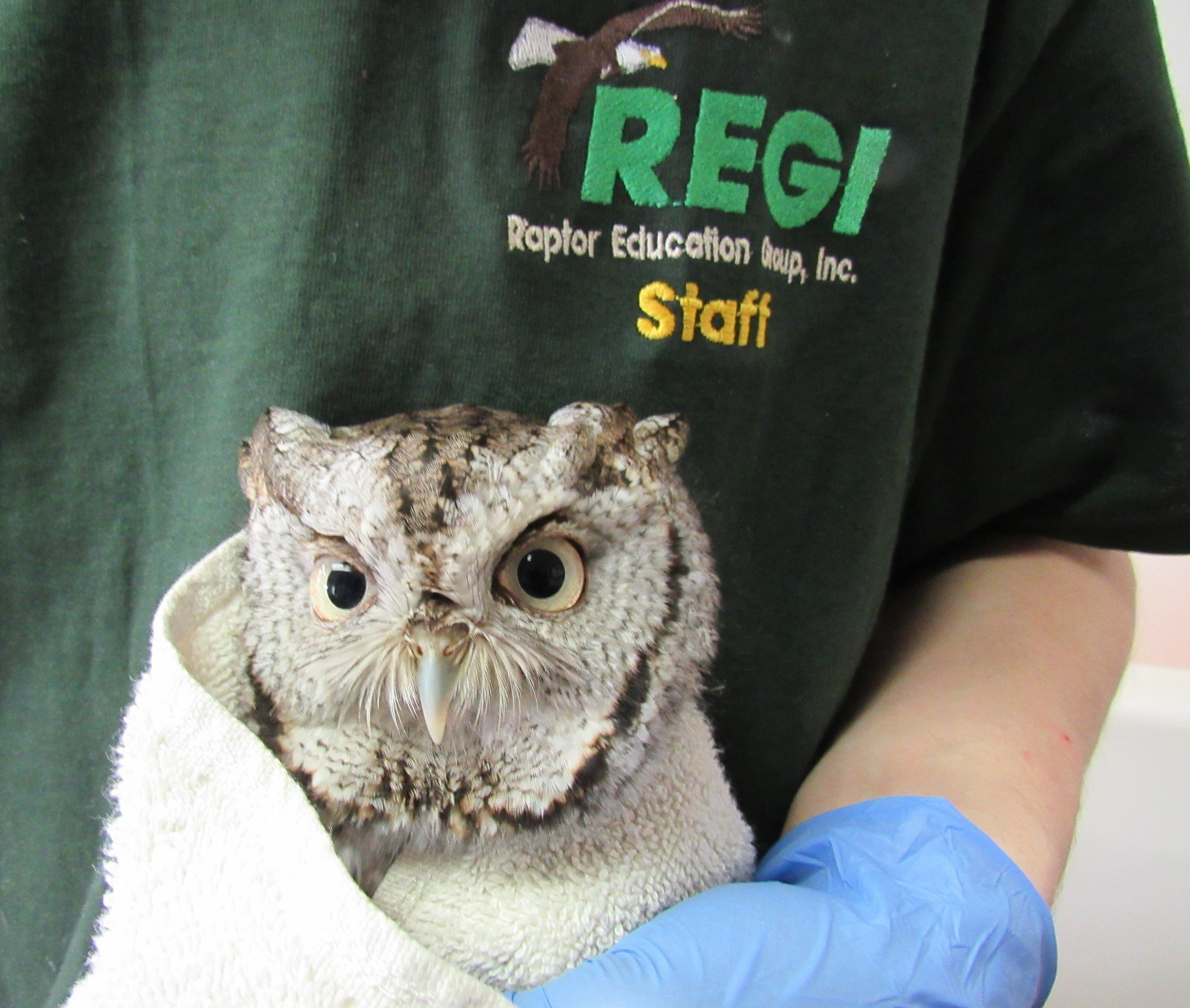 Screech Owl ready to be wild.