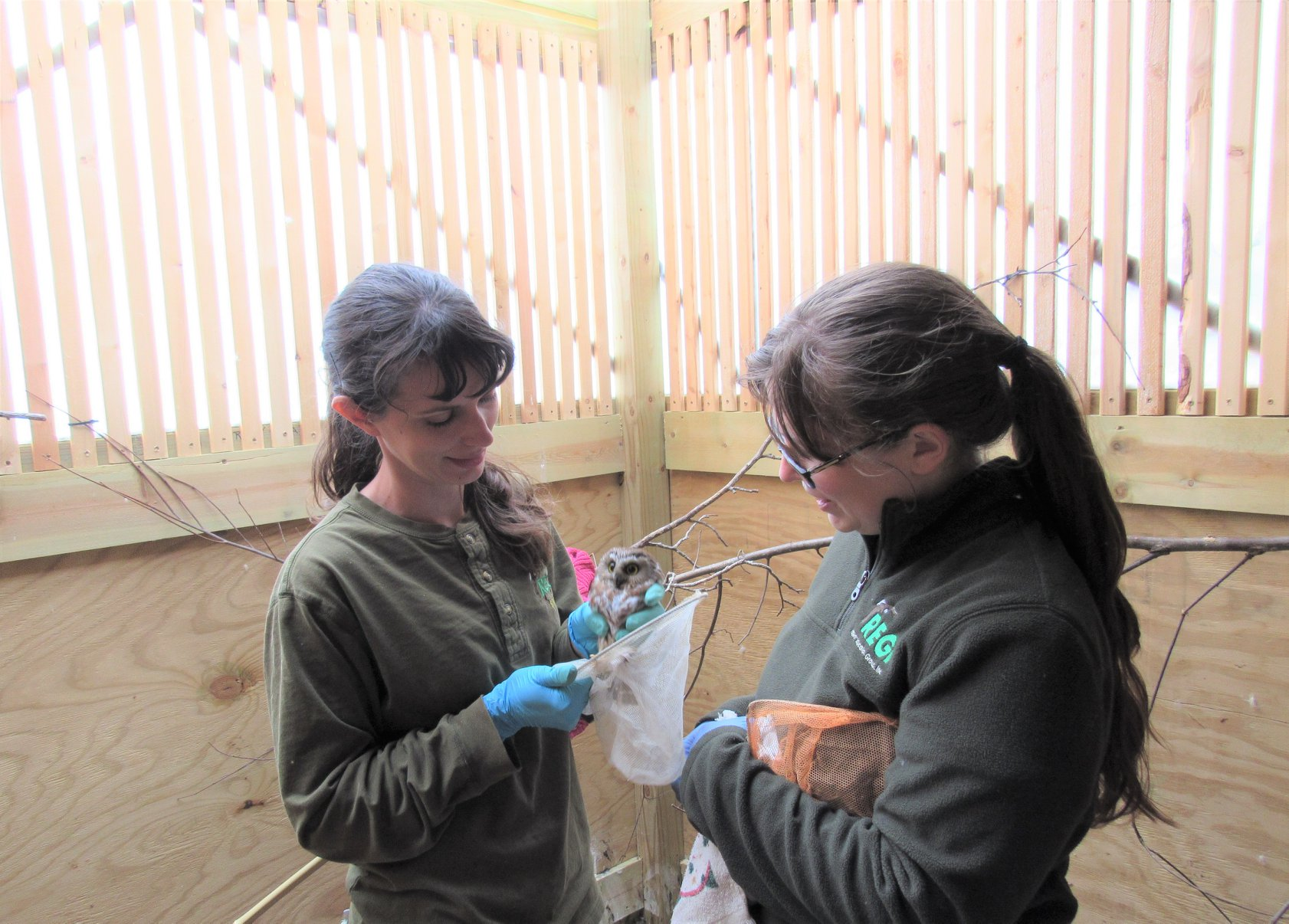 This Saw-whet Owl doesn't know it yet but this is his last day in captivity. Here Audrey and Ashley capture him to be transported for release