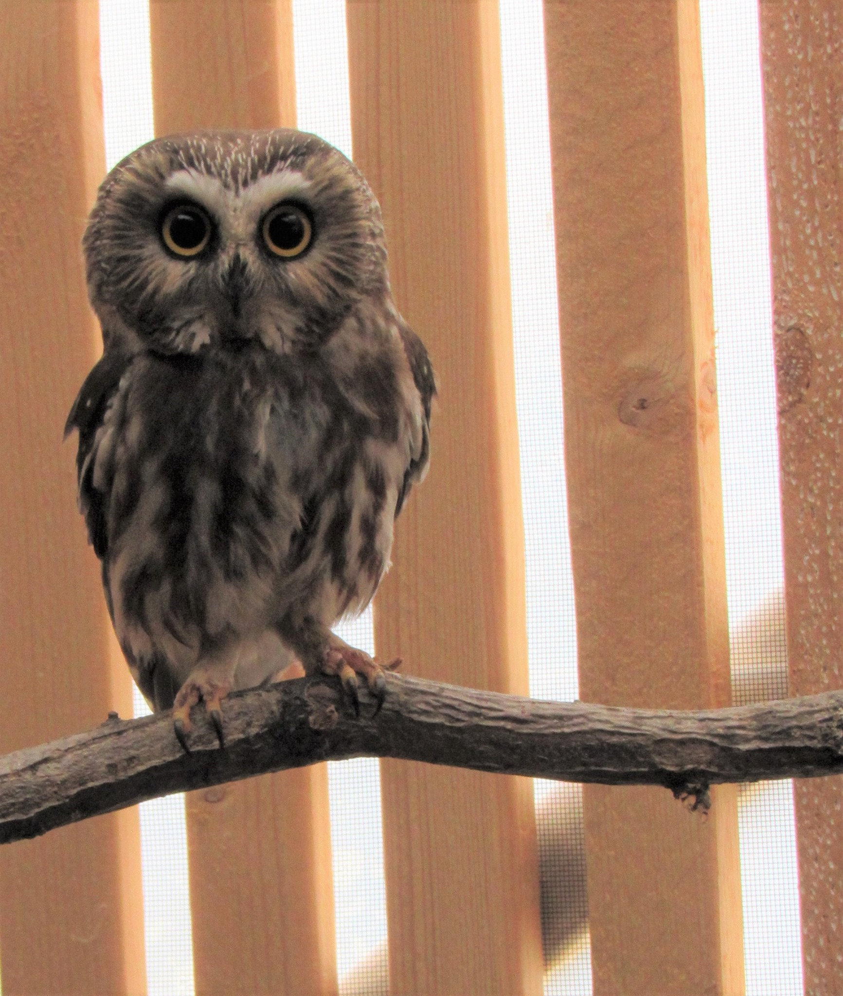 This beautiful Saw-whet Owl is back in the wild now after have recovered from a snow/ice related event.