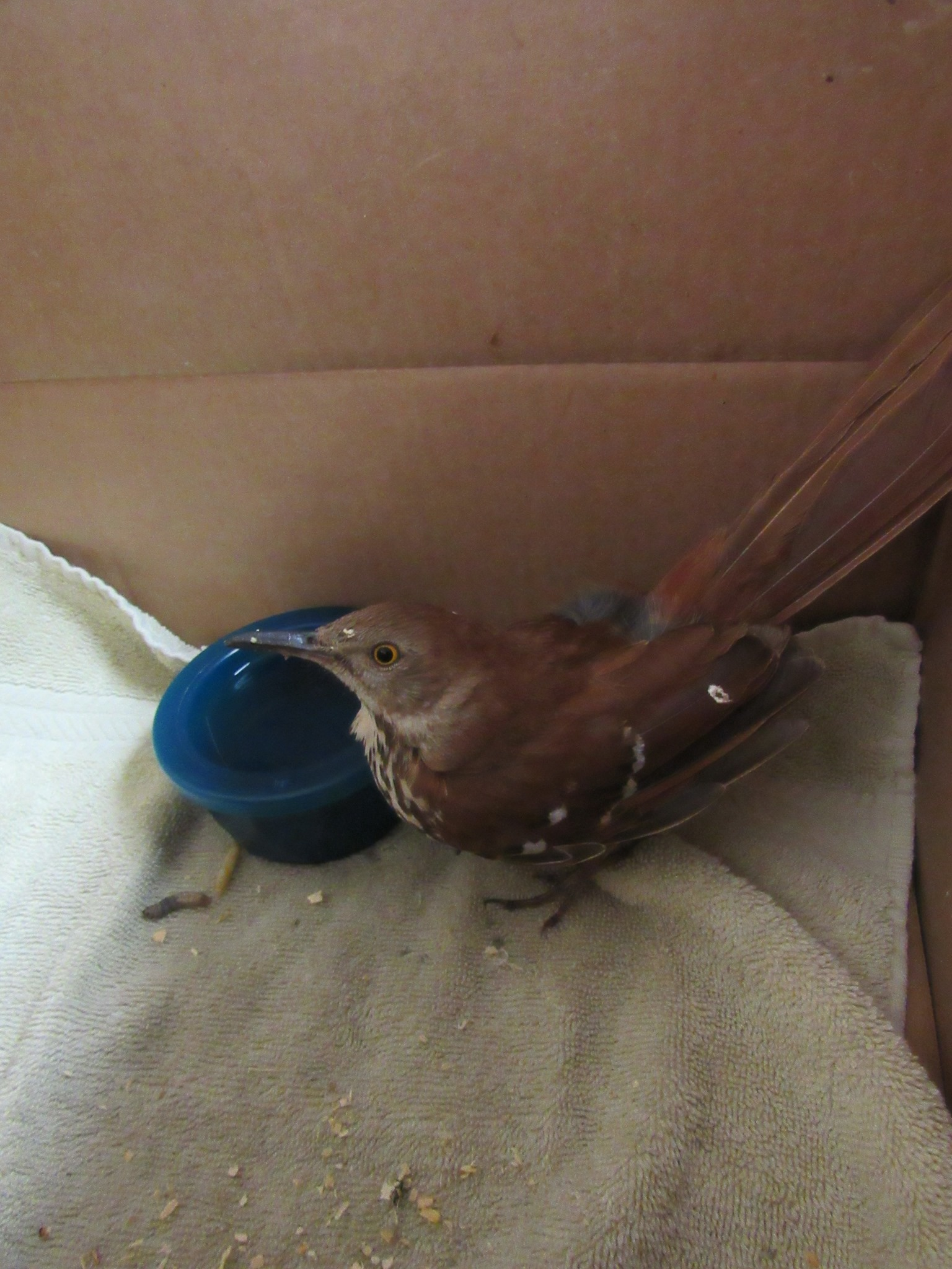 Brown Thrasher was hit by a vehicle. She is also thin,