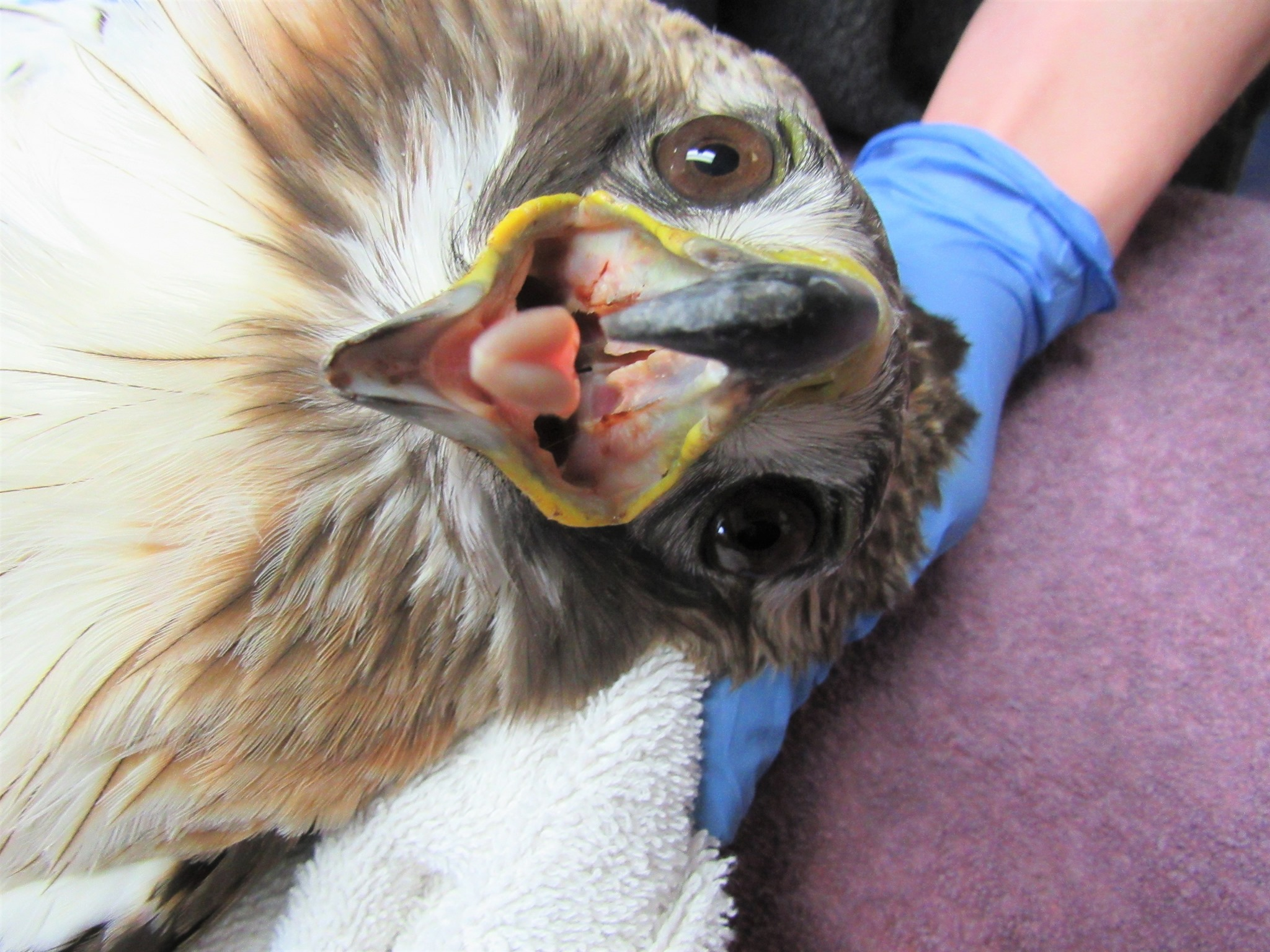 You can see the blood in the hawks mouth which indicates internal bleeding, in this case his lungs are injured.