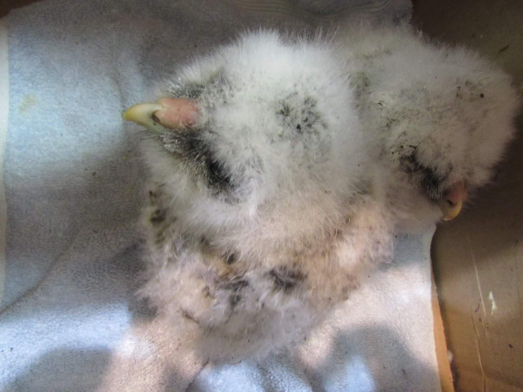 Two Barred Owlets survived the incident when their nest tree was cut down.