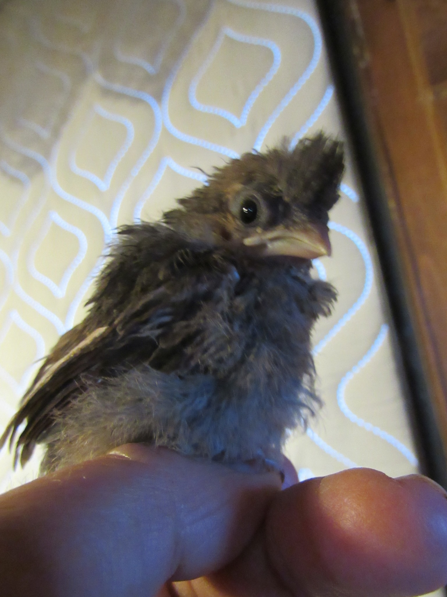The Northern Cardinal chick already had his top notch feathers in place although his color is brown.