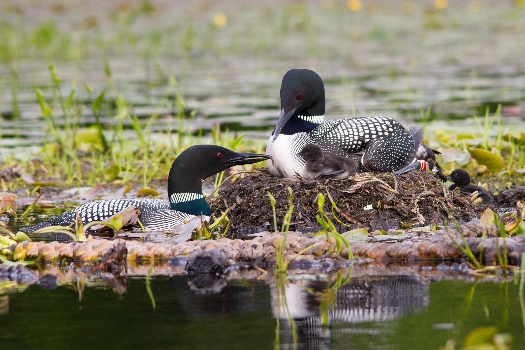 This is not our patient loon but a pair in a photo by Linda Kevin Grenzer. Notice how the adult sits up high off the water while on the nest. The position of the wing folded against the body and the foot immidately under the wing and chest, explains how our loon was caught by the lure.