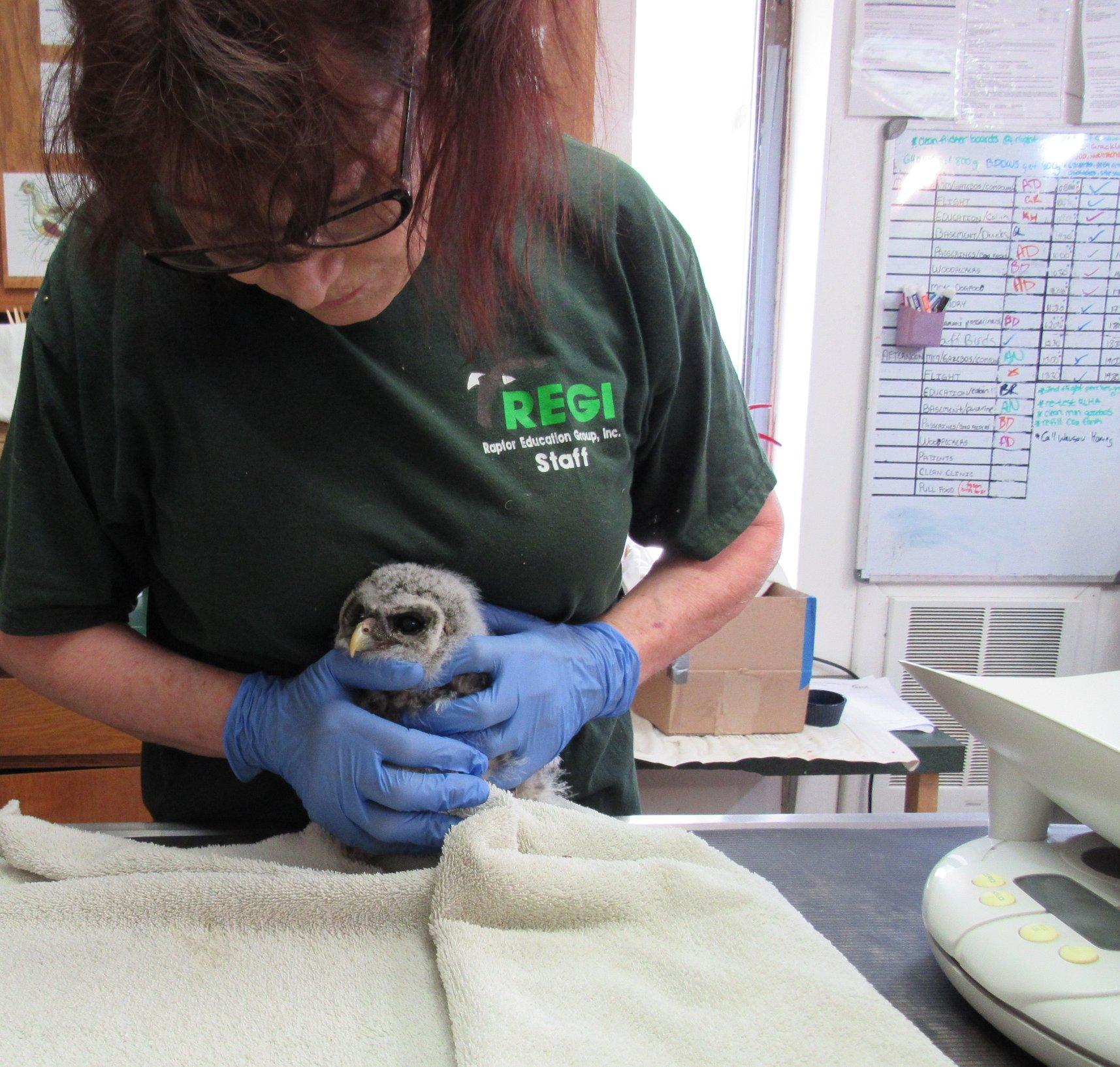 Tiny baby Barred Owlet