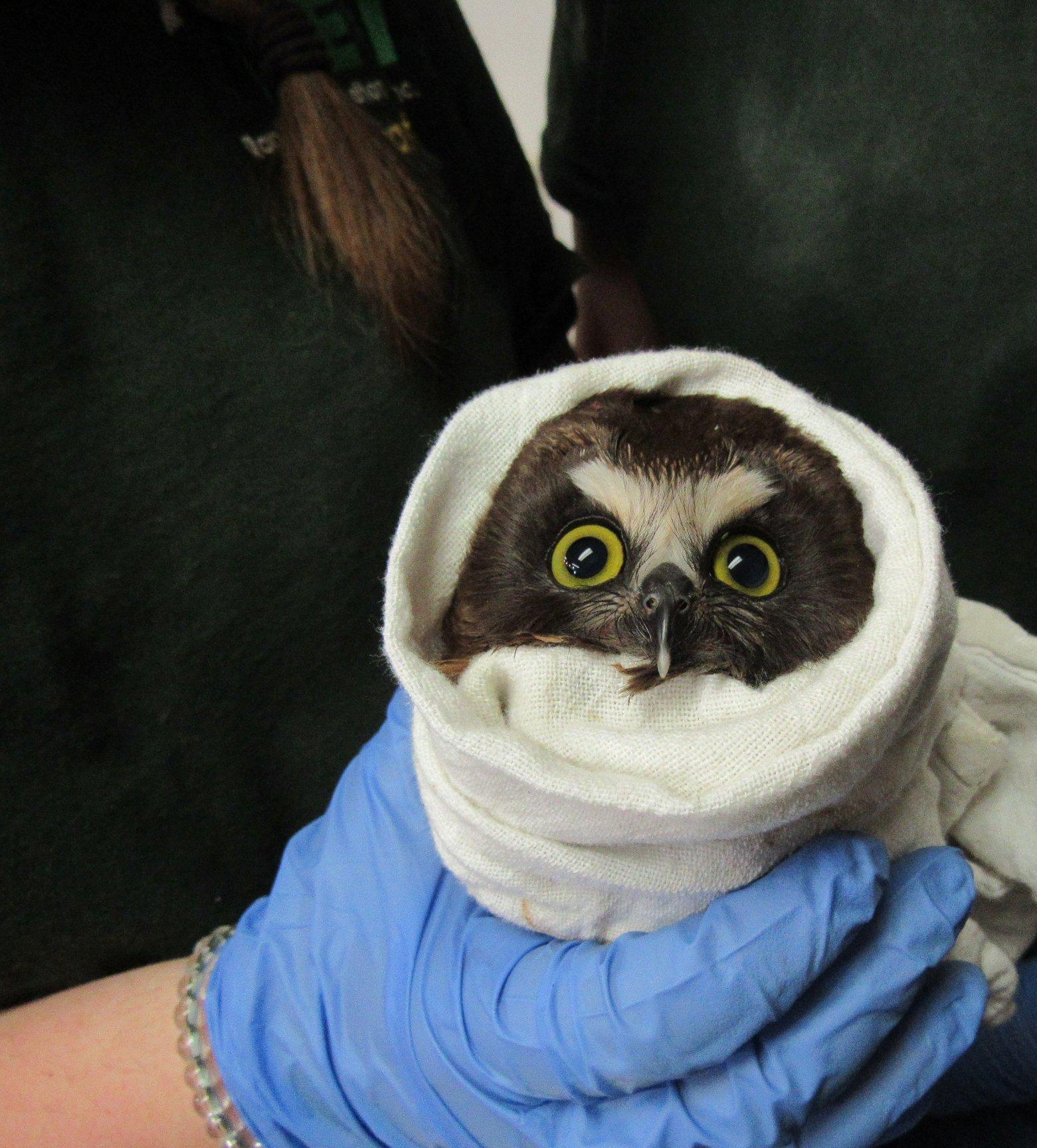 Saw-whet Owl babe