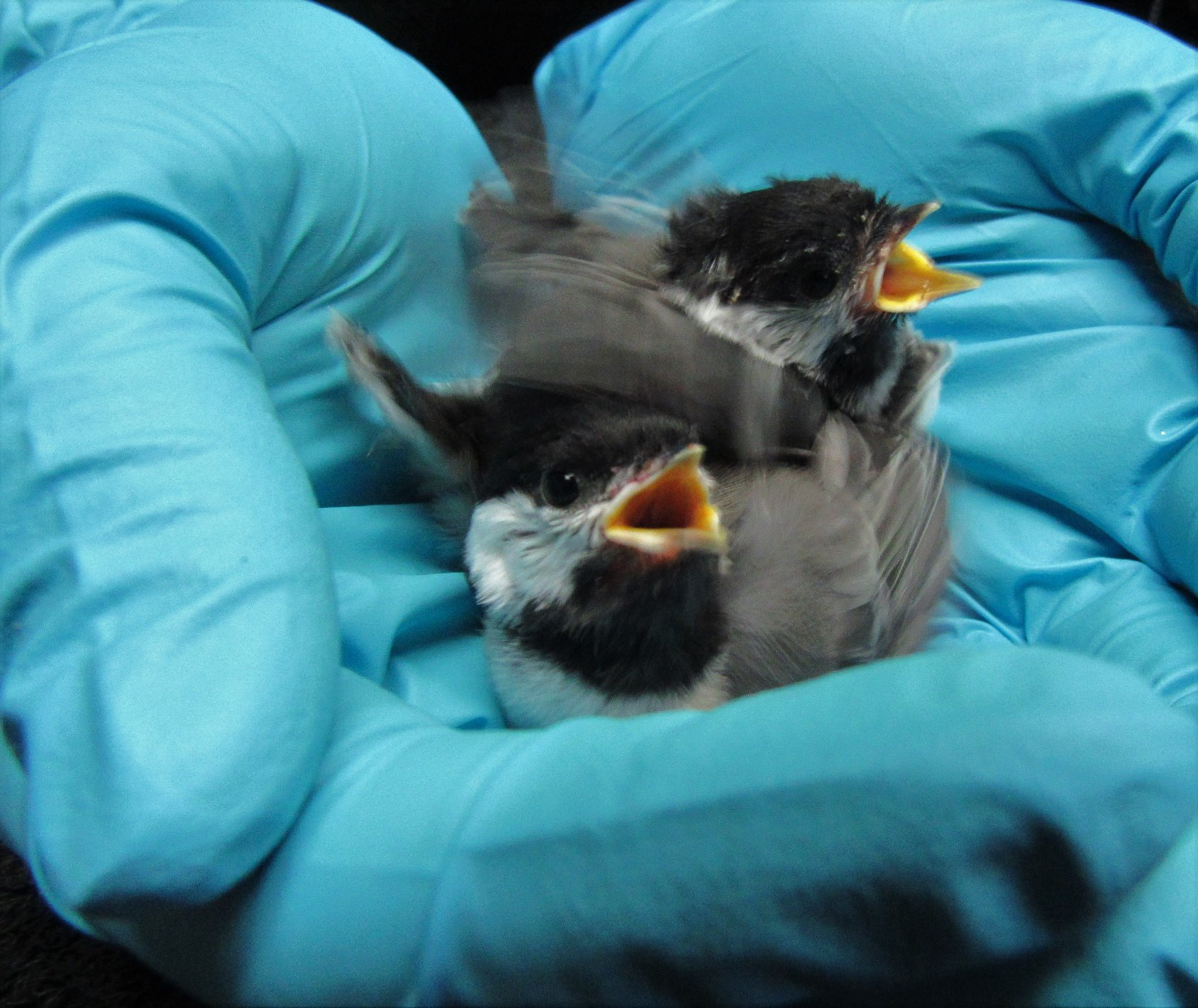 Baby chickadees are so tiny and yet so full of energy.