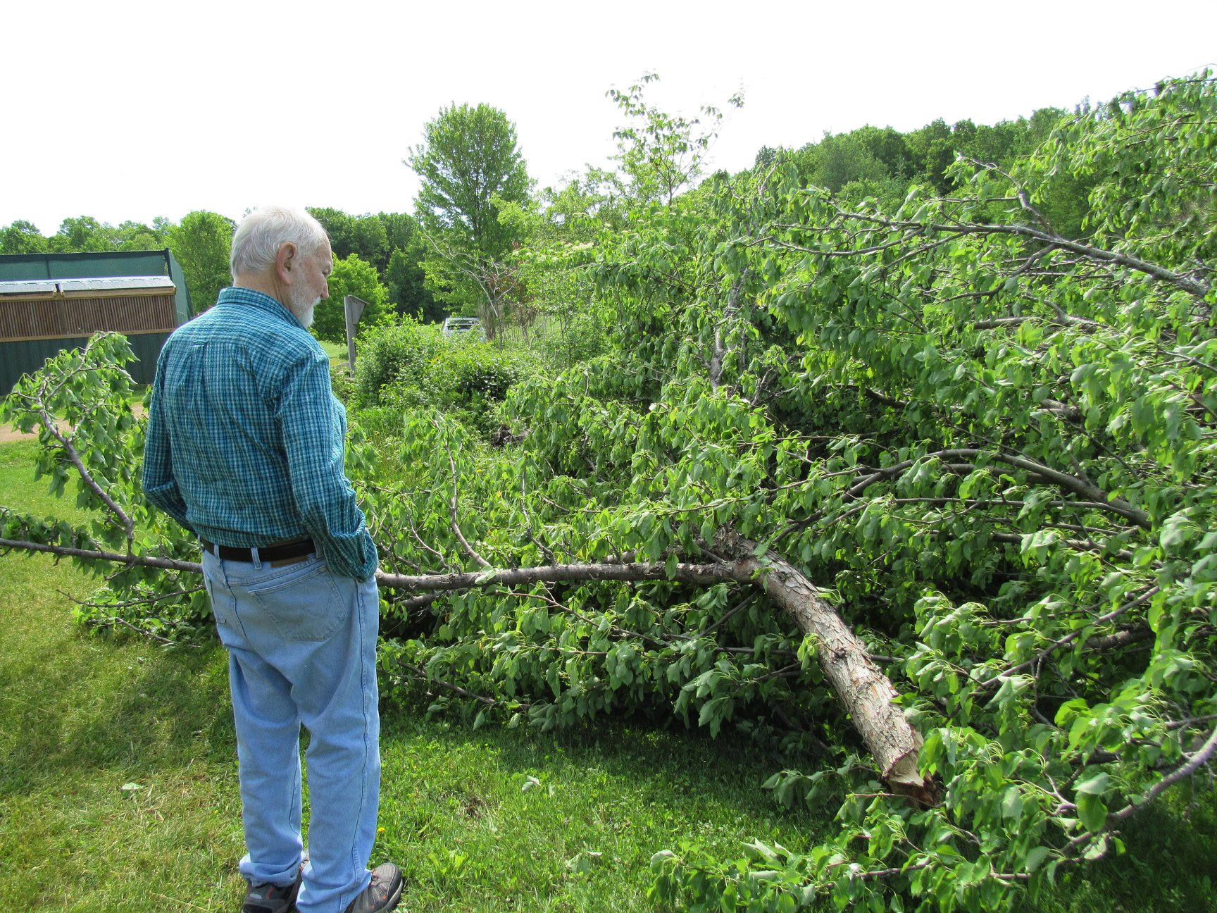 The pear tree was blown apart. We are stunned at the powerful winds that caused its demise.