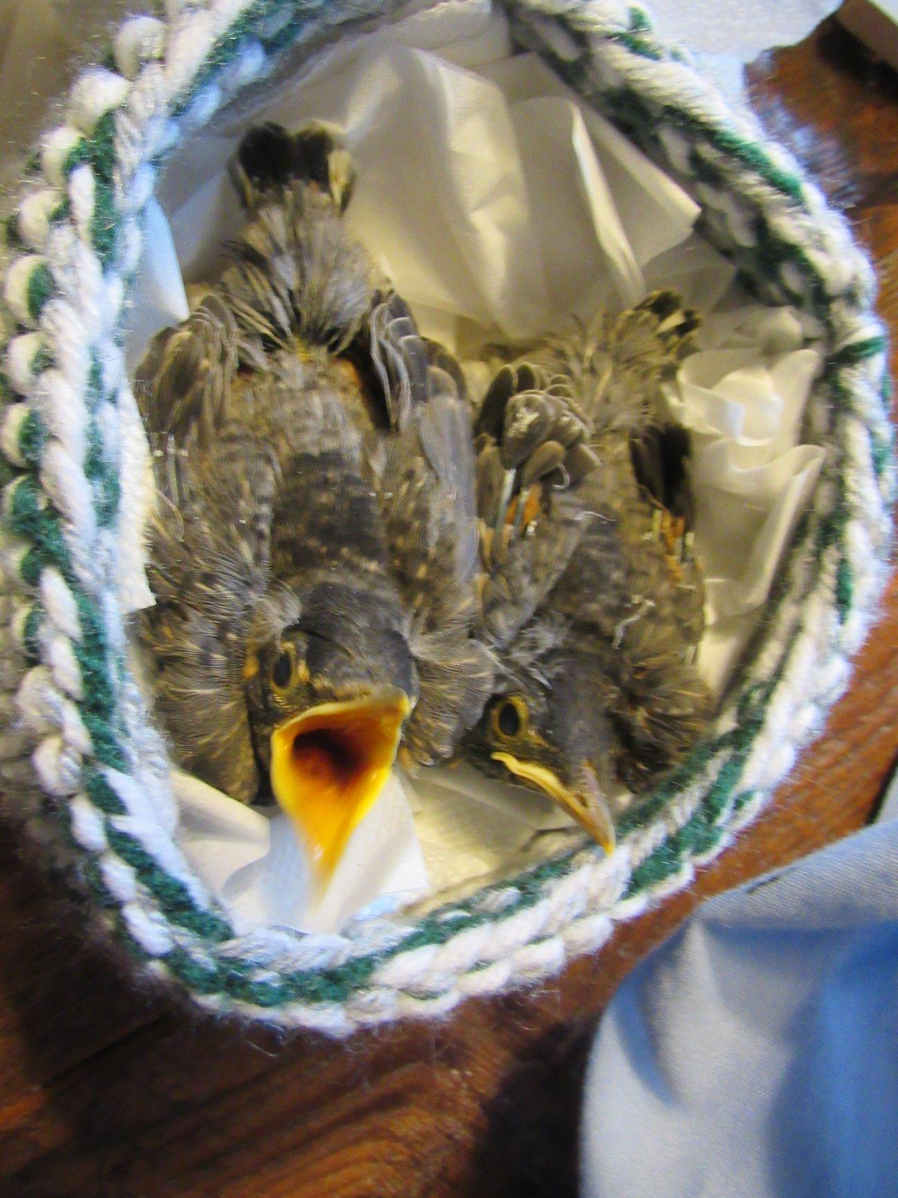 Robins chicks