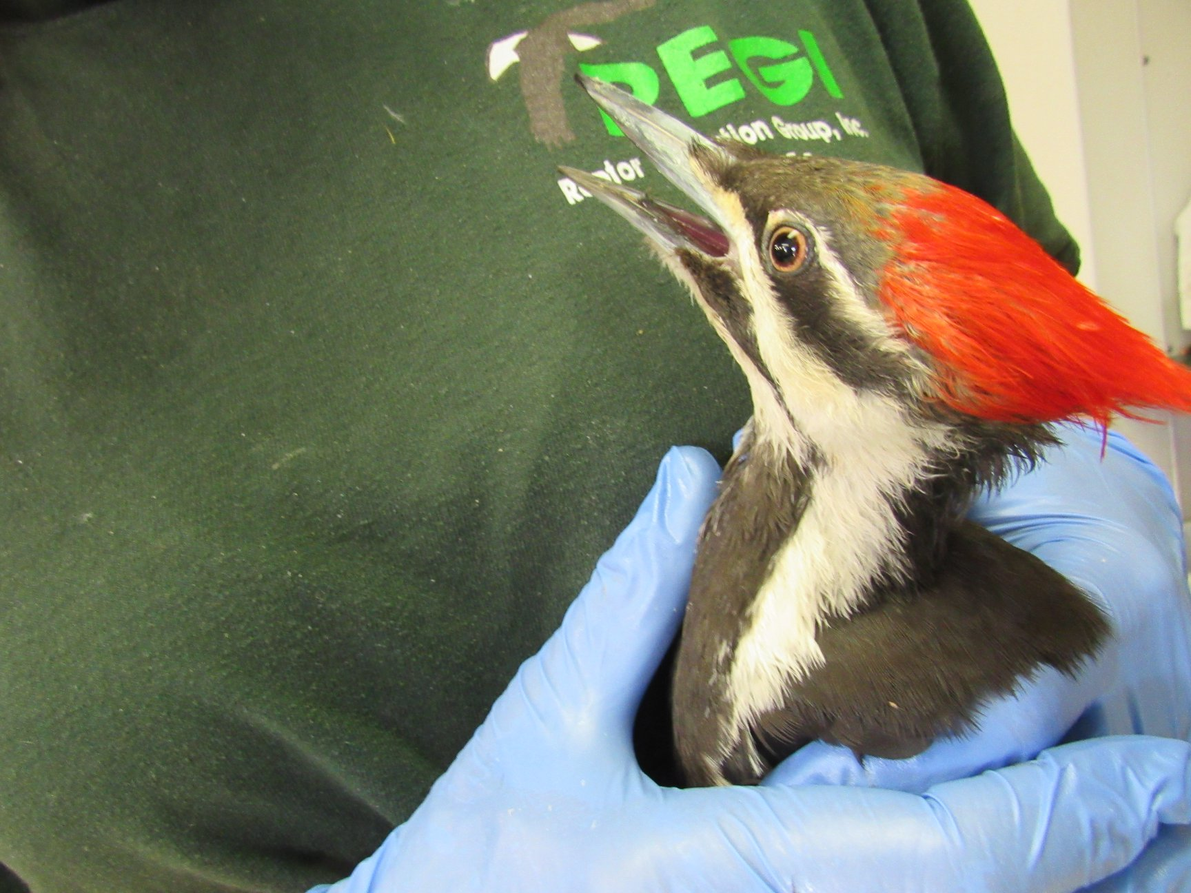 Pileated Woodpecker ready to go!