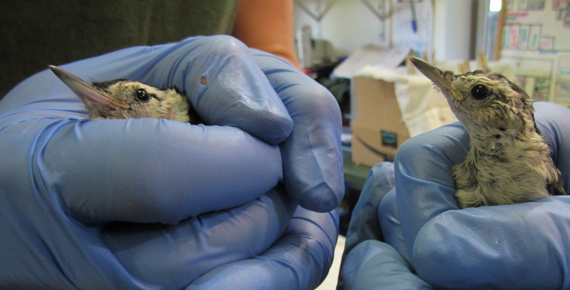 Nuthatch babies are adorable and climb very soon during their development.