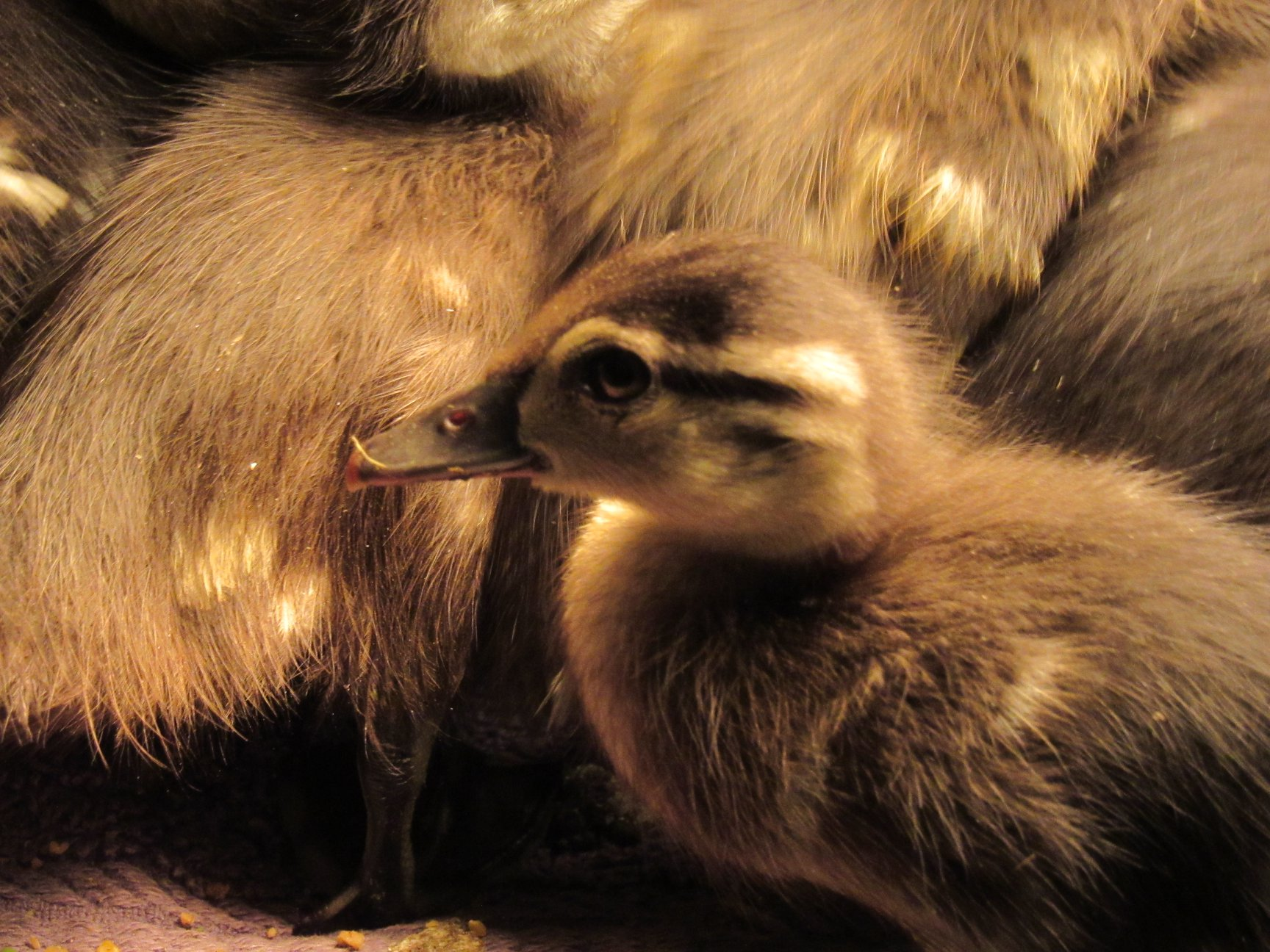 Duckings we have ducklings! Mallard and Wood Duck duckings in every age group