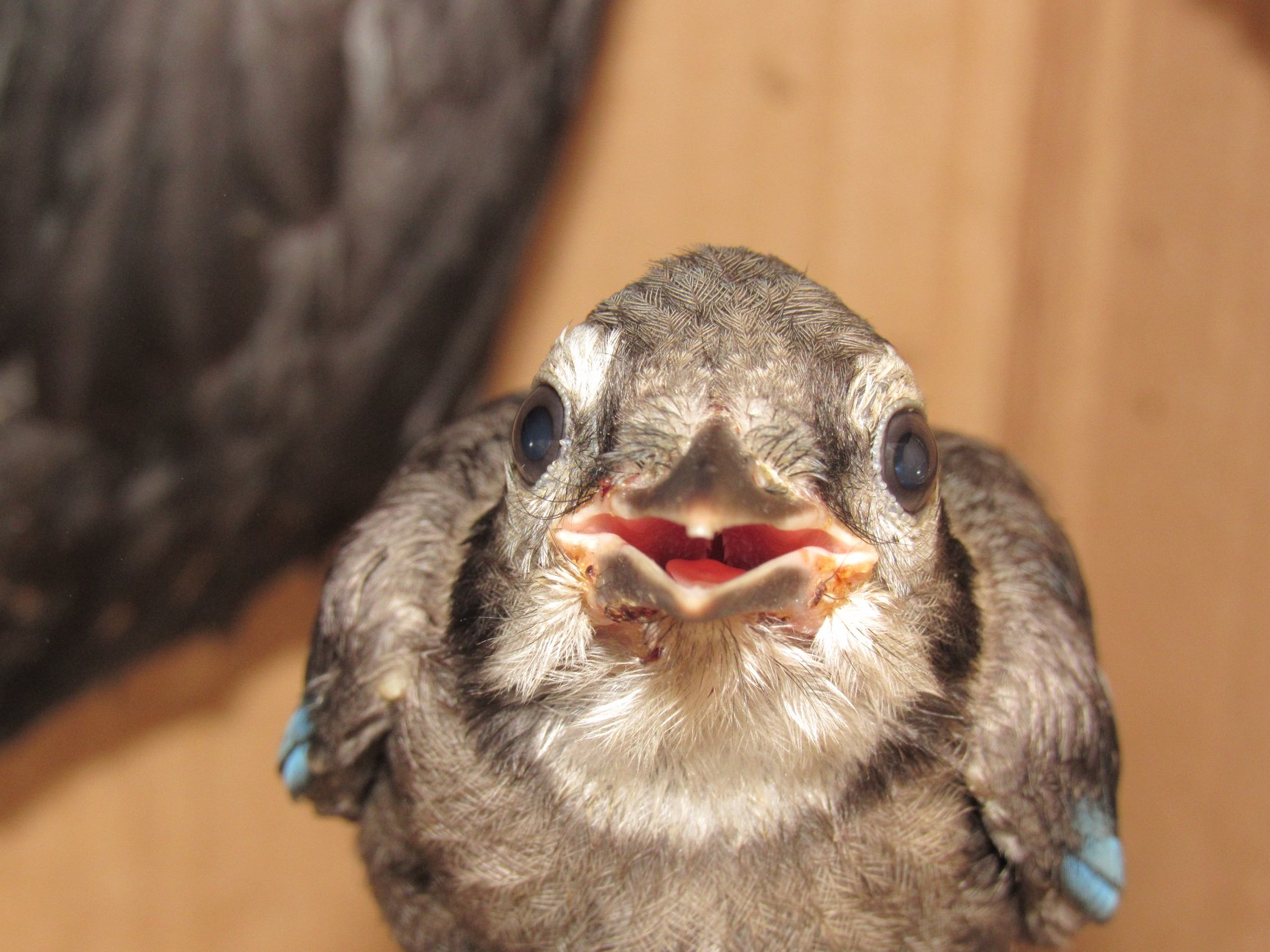 Blue Jay chick with black fly bites on his lower mandible.