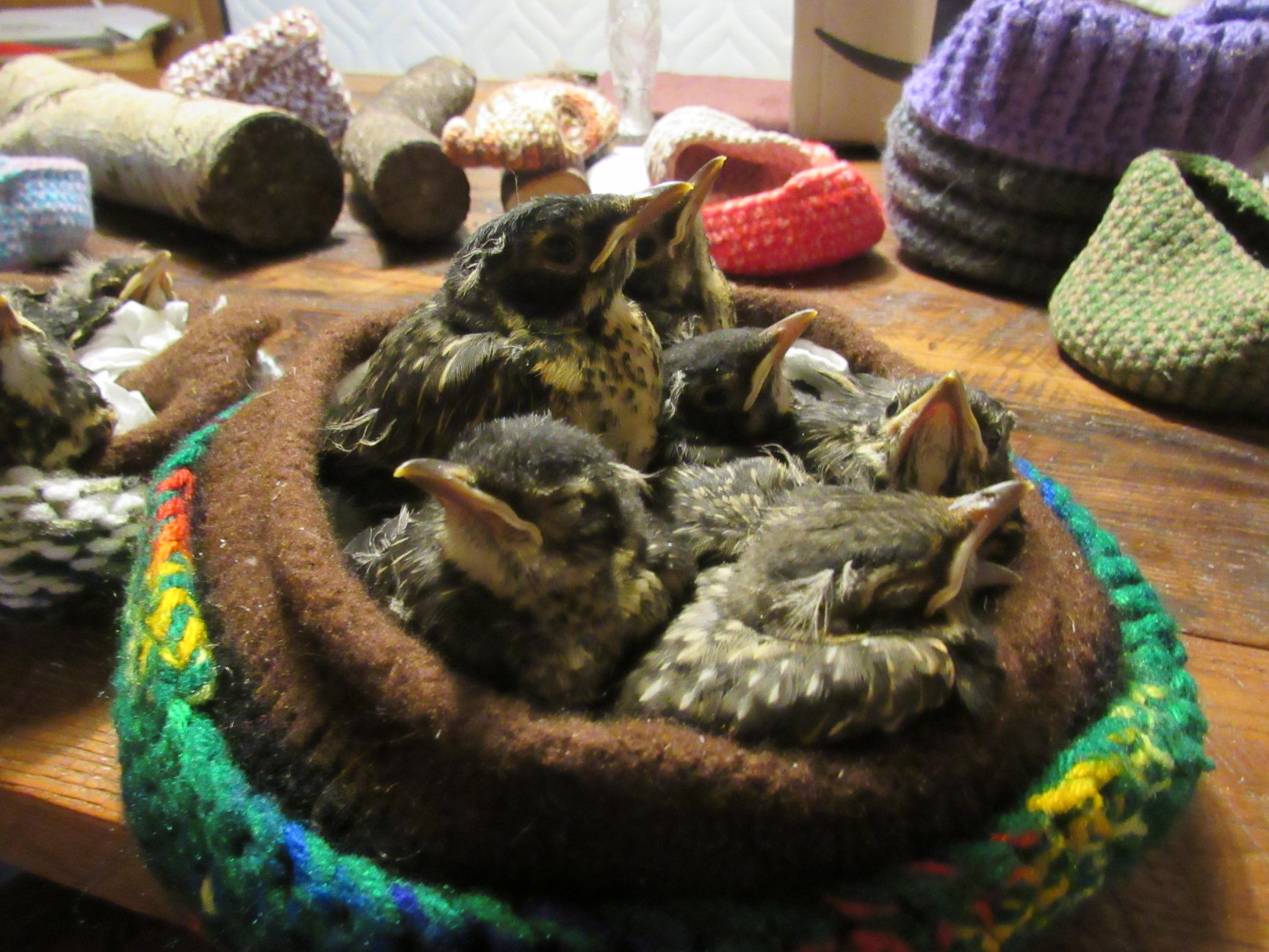 More baby American Robins making great use of the crocheted birds nests.