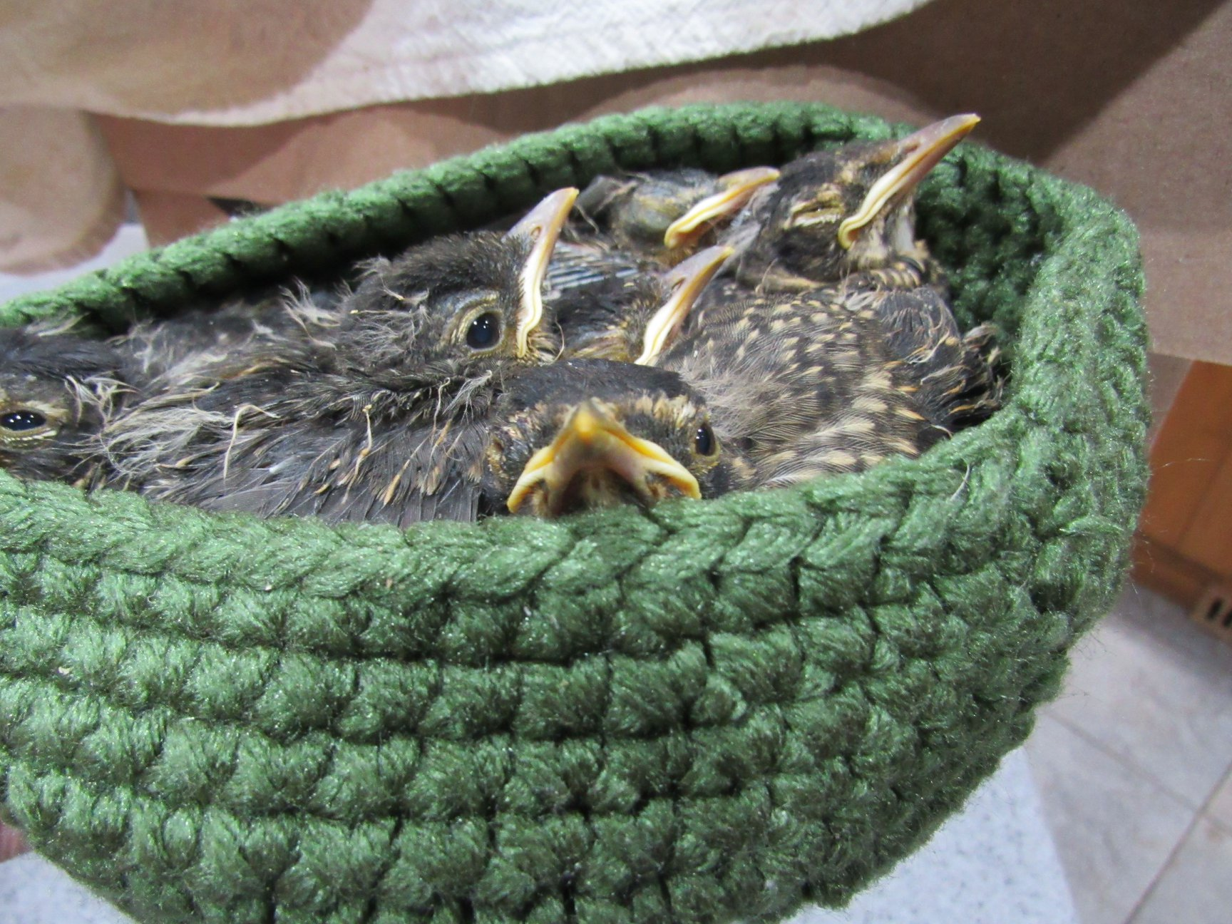 Baby Robins fill our clinic