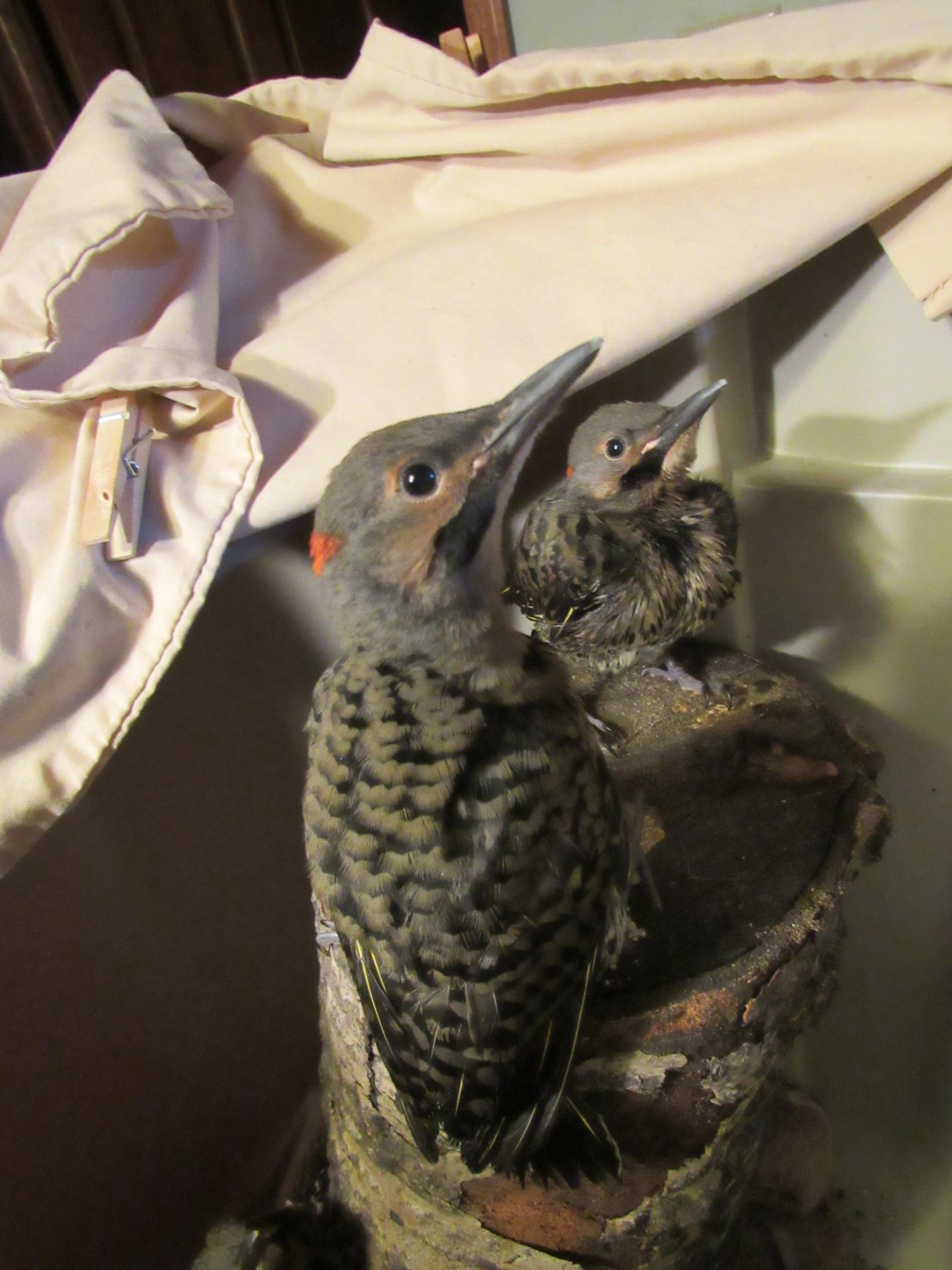 Our Flicker chicks are growing fast! All seven made it!