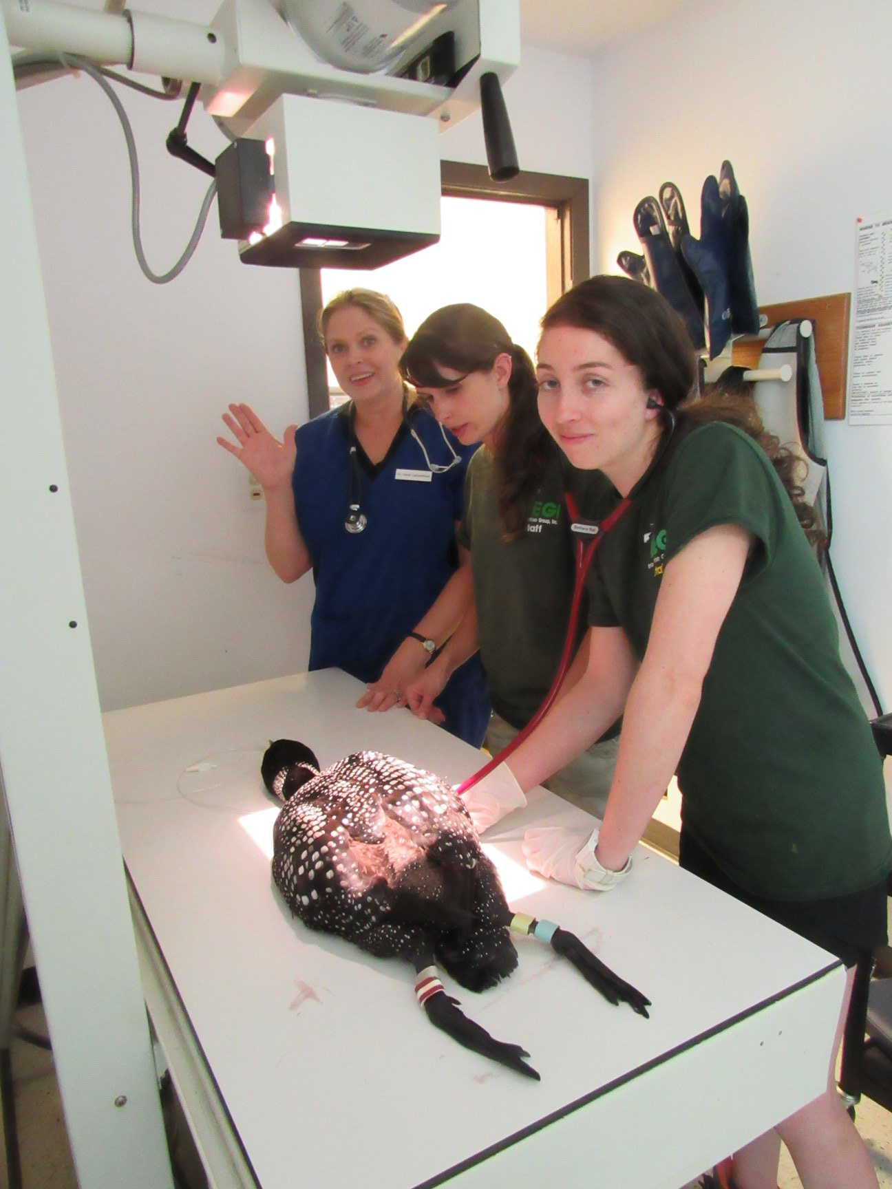 Dr Sarah Lautzenhiser , Audrey Gossett and Dr Laura Sánchez monitor the loon during yet another x-ray to make sure the lead was out of her digestive system.