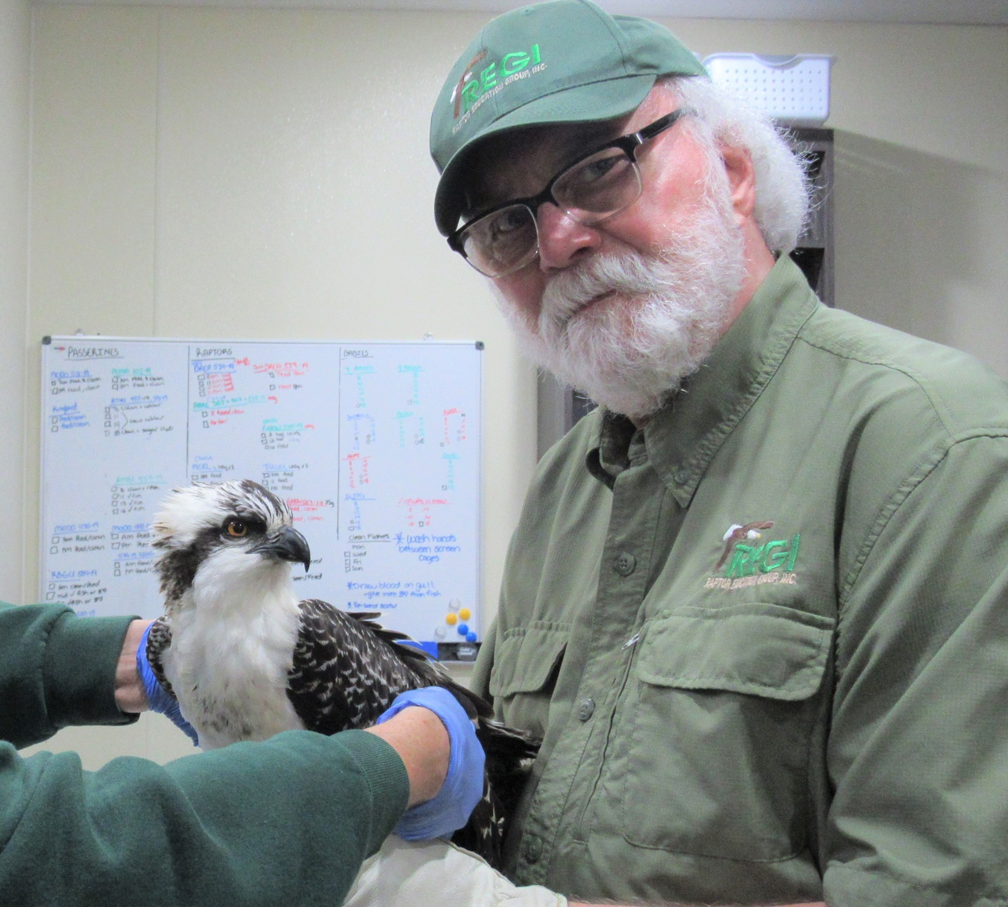 Our thanks to Steve Fisher for transporting this beautiful young Osprey from Chippewa Falls,