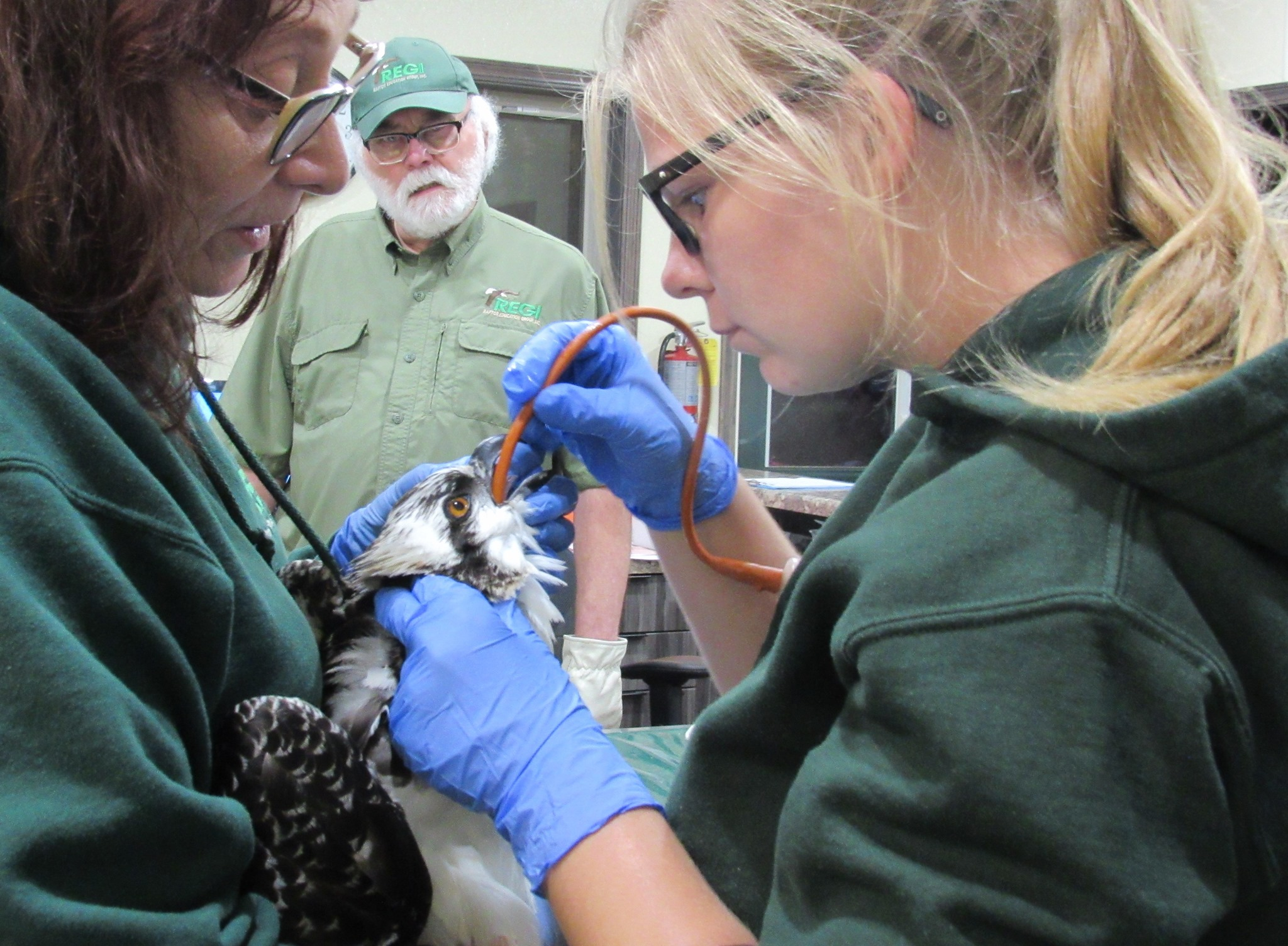 Intern Ashley Damhoff tube feeds the osprey.