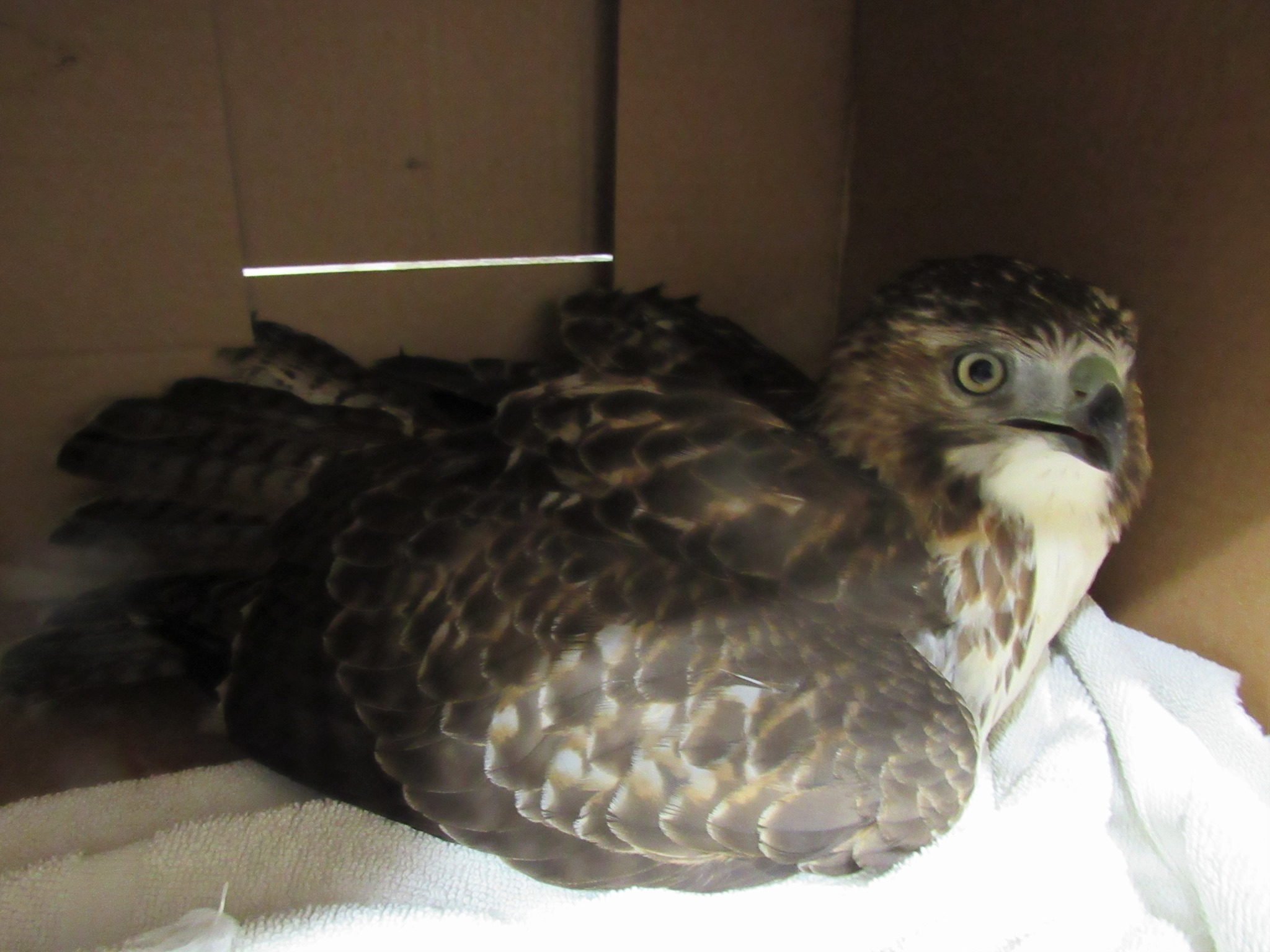 A very handsome adult male Red tailed hawk was hit by a vehicle and rescued by the person that saw the incident and stopped to hep.