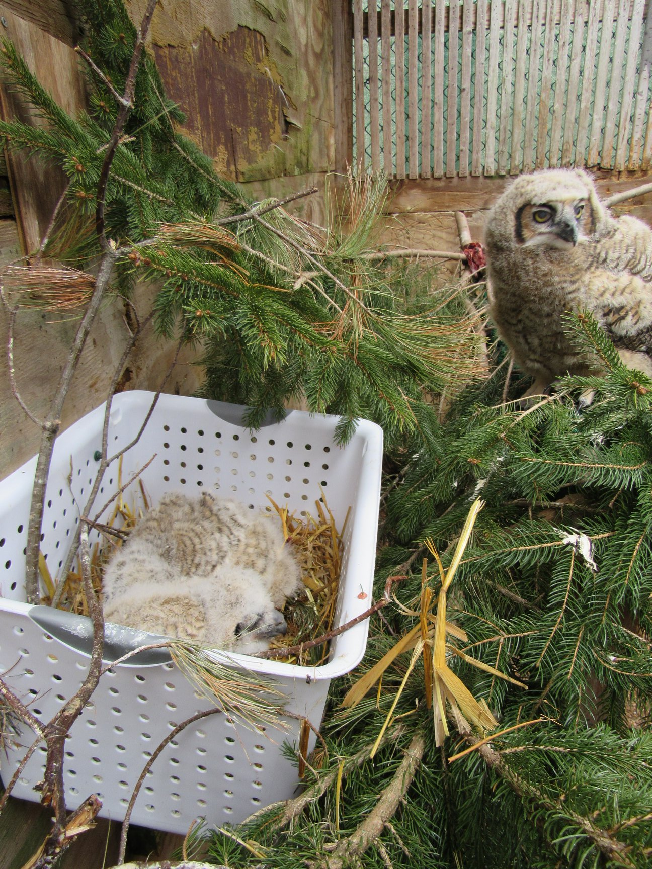 "A new owlet in the basket was found weak and on the ground. His older ""foster sibling"" was very interested."
