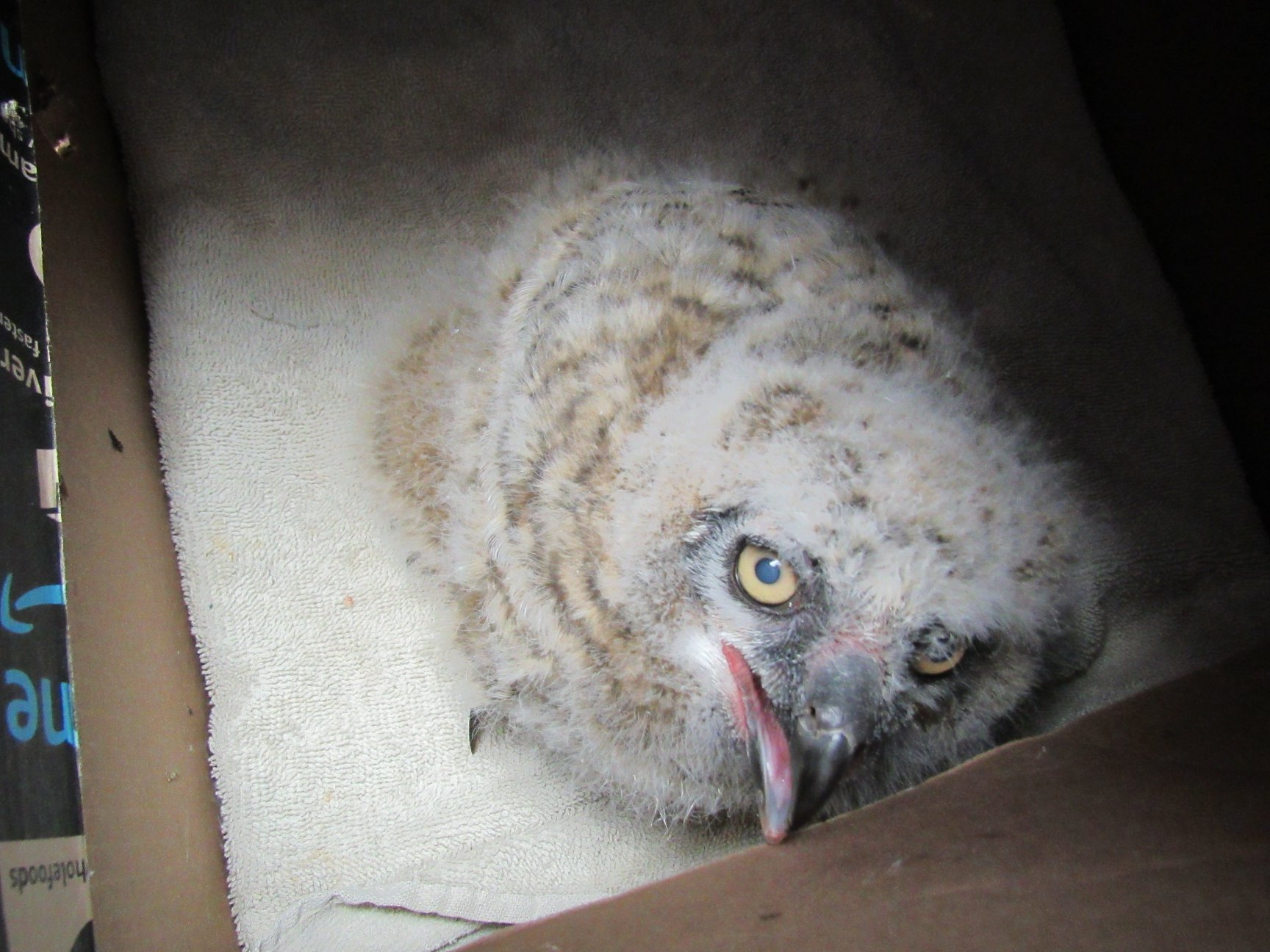 When the owlets arrived many were tiny fluff balls