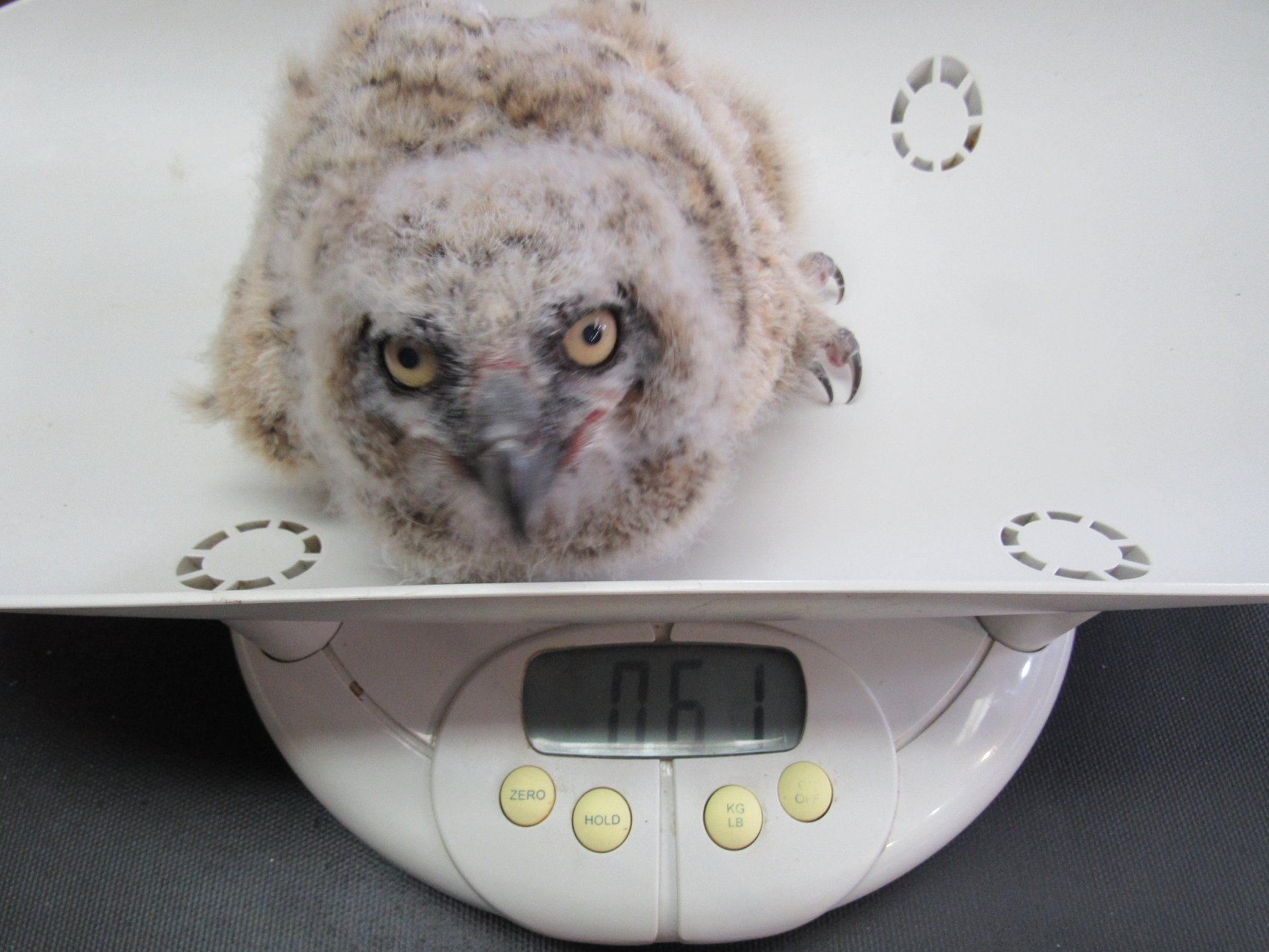 Hard to imagine our owls as they are now were once this tiny.