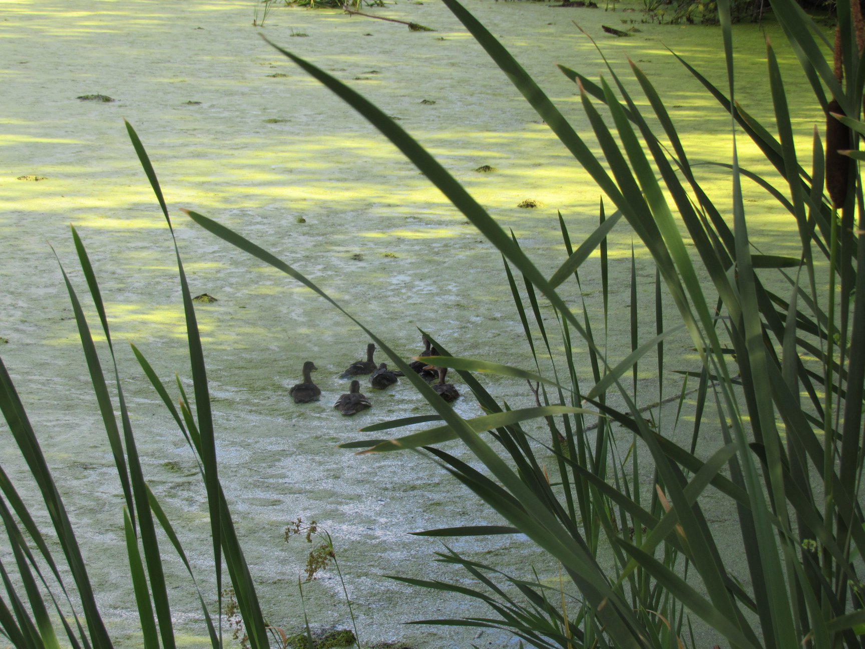On their way to the rest of their life! They are always very excited about the great duck weed in this remote location. Also inaccessible to humans which is a plus.