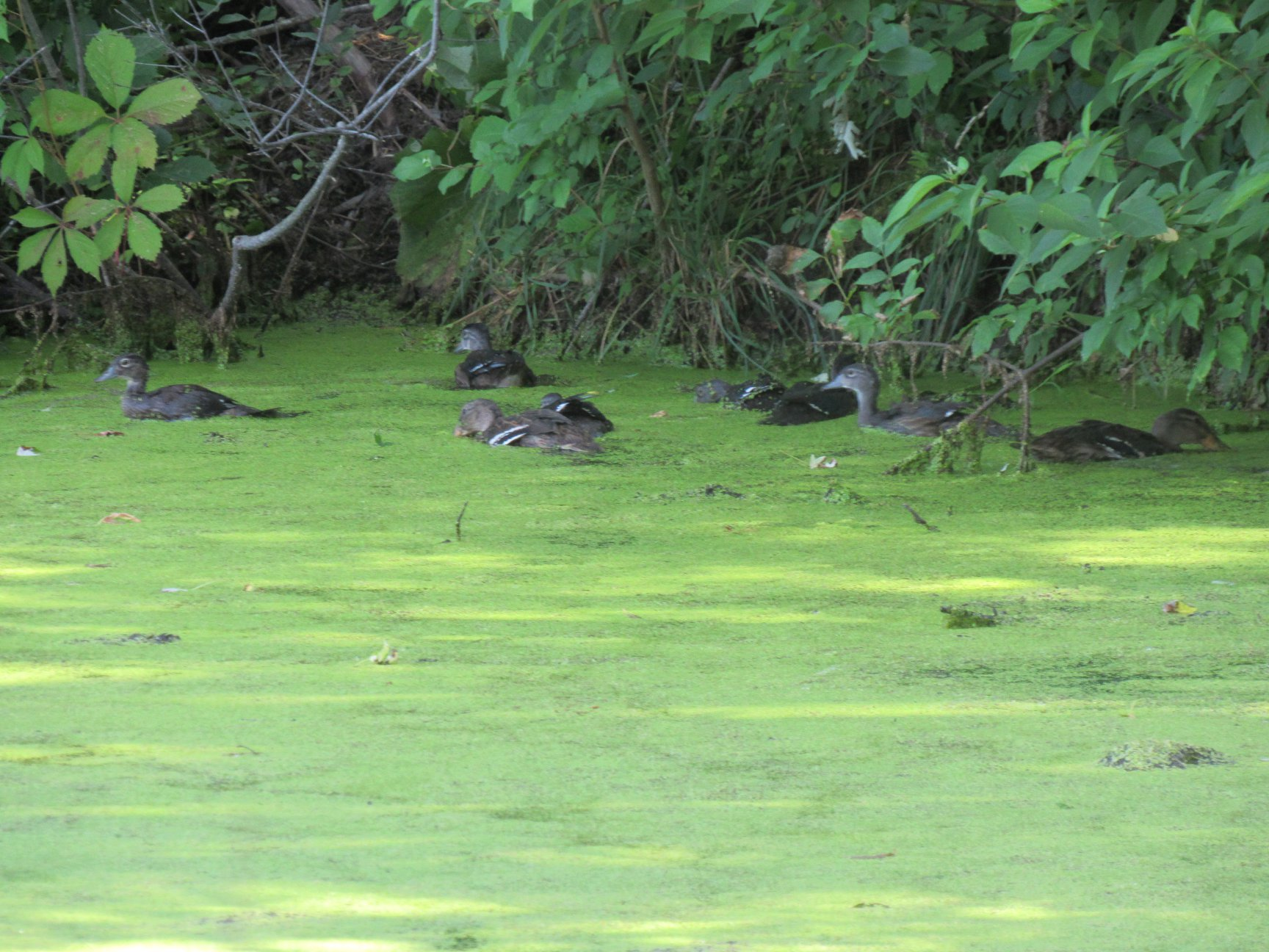 Num num Duck weed! Wood ducks and mallards alike adore it.