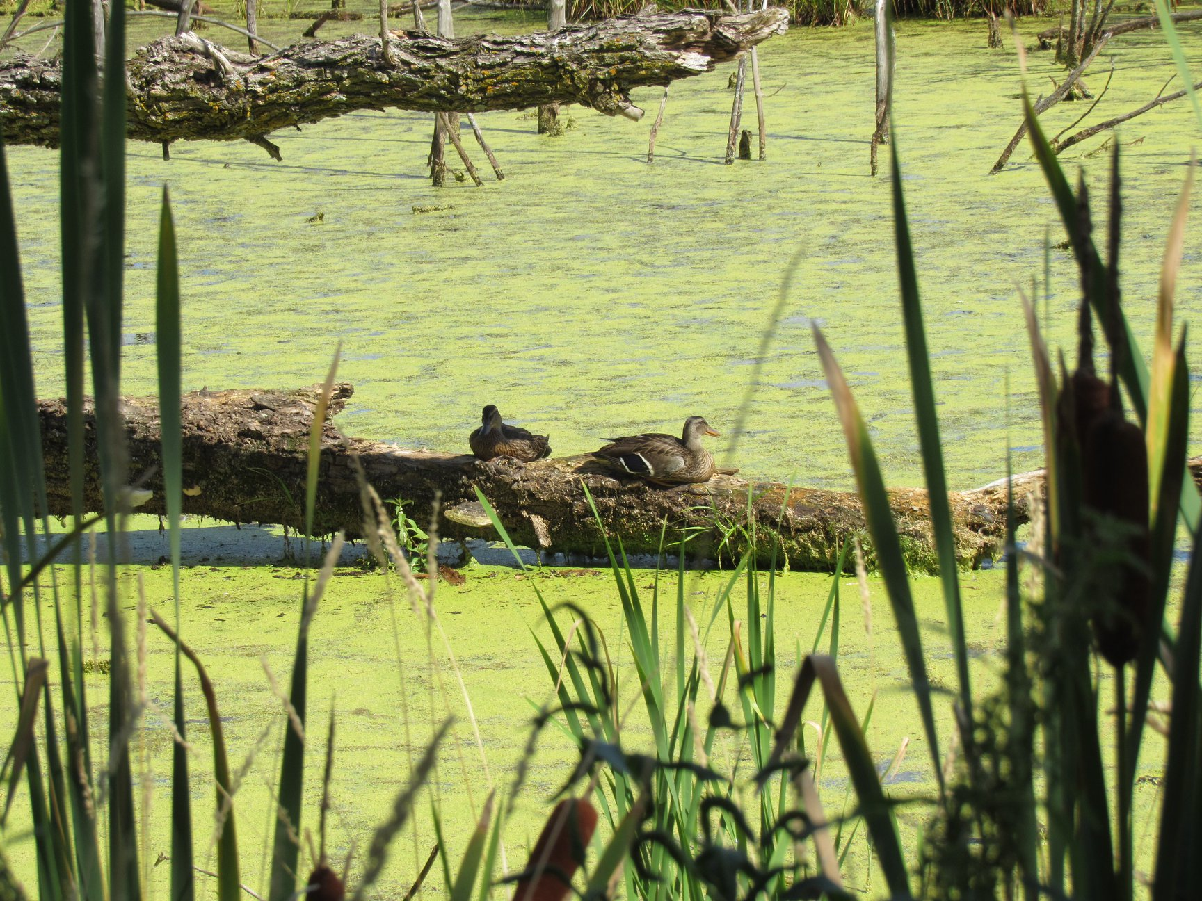 During another release we found some ducks from a past release lounging on a log in the wild area. Check out this amazing habitat!