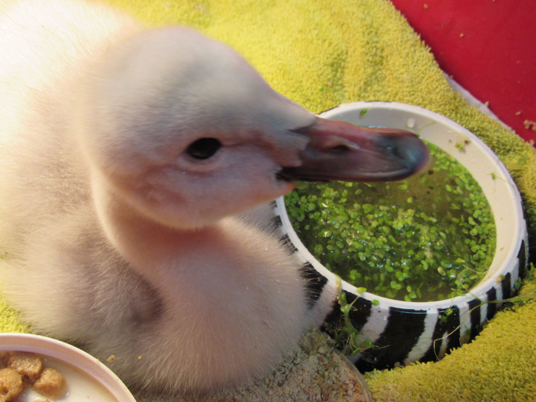 Under a brooder with the essentials including duck weed and mealworm mash. This is a Trumpeter Swan cygnet.