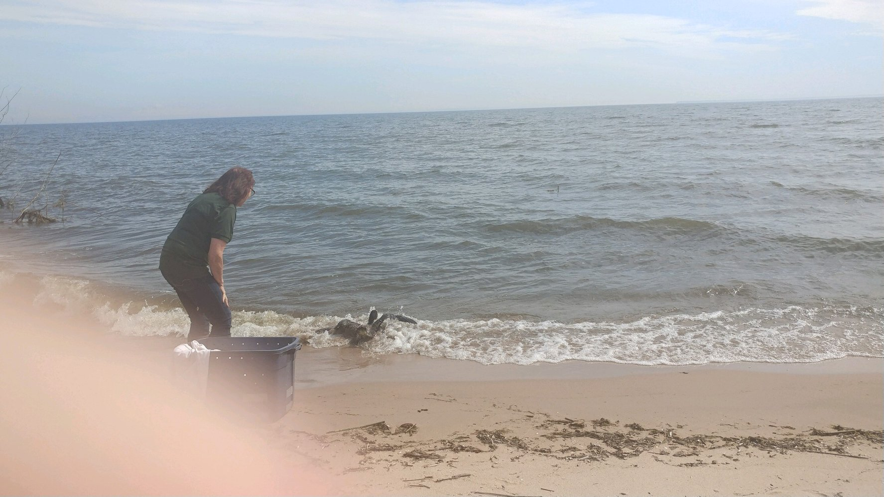 A jump out of the box into the waves was the loons reaction to hearing the water in front of her. EXCITED!