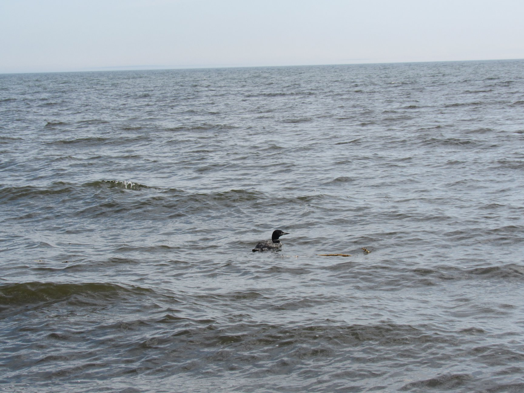 Much enlarged Loon was delighted to be in wild water!