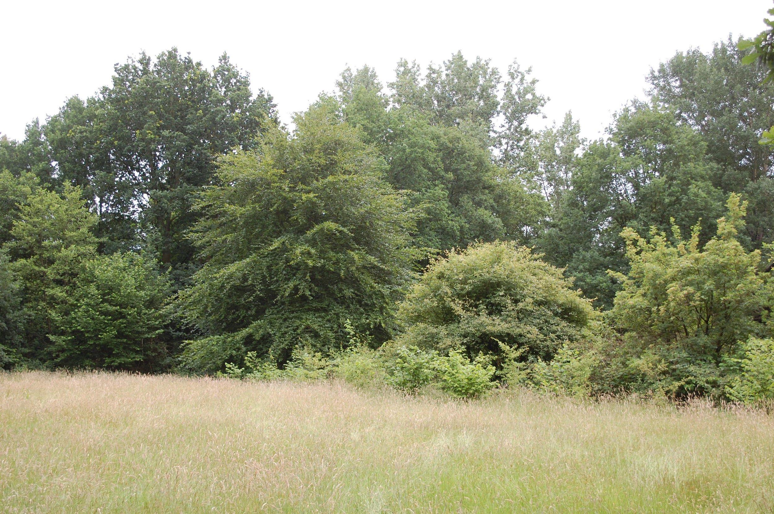Bosplantsoen   aangeplant (T raditioneel)voorjaar 2013 - nu zomer 2016  goede ontwikkeling, maar heesters zijn pas 1,0 tot 1,50 m hoog en nog niet vruchtdragend