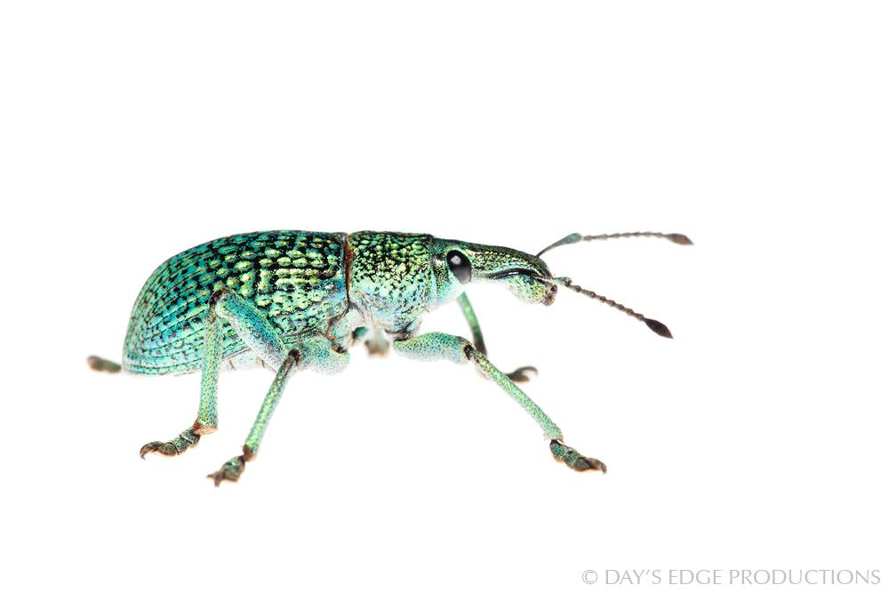 Unidentified weevil