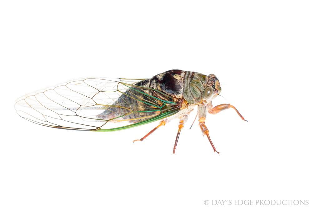 Unidentified cicada.